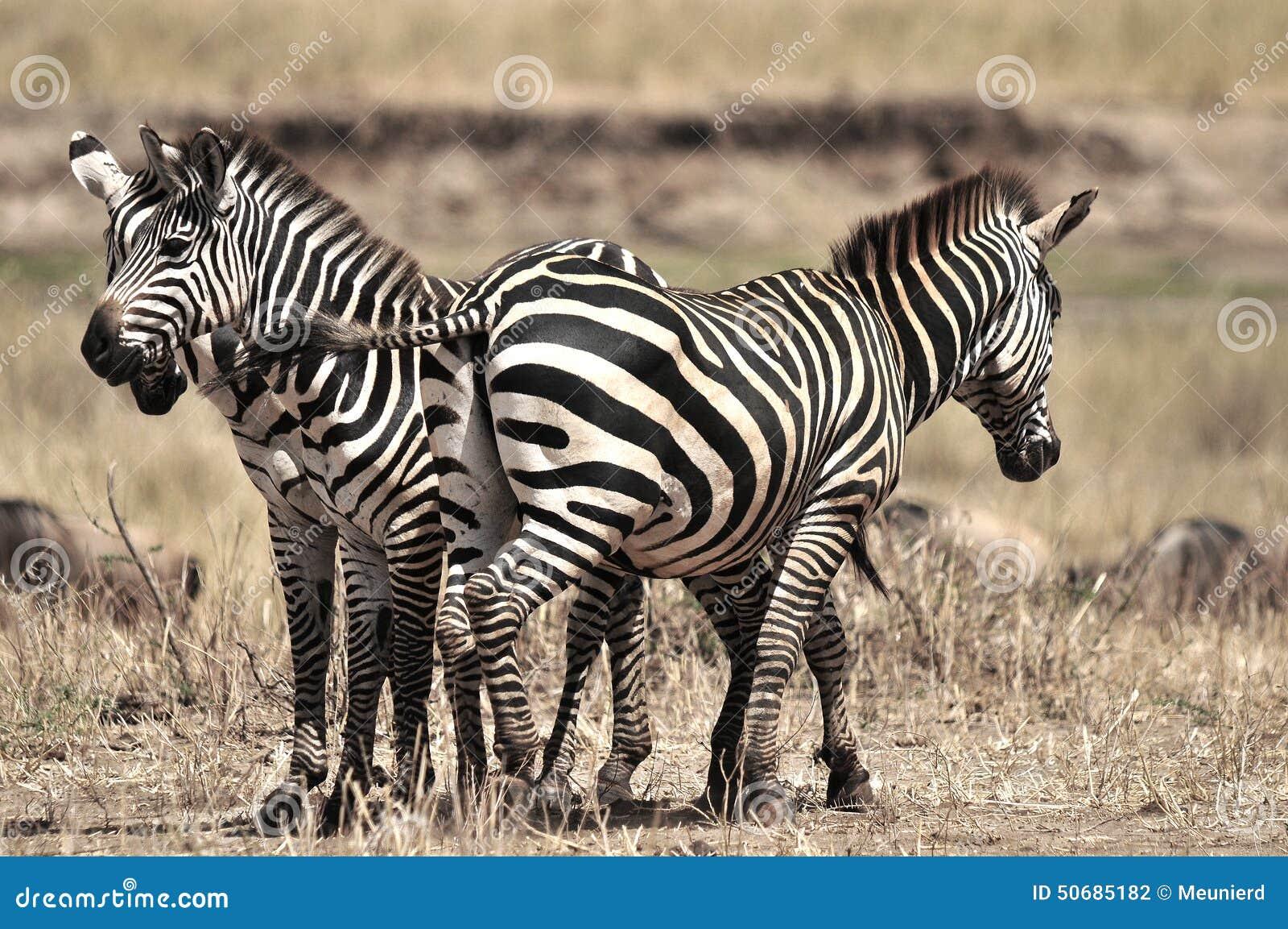Download 斑马 库存照片. 图片 包括有 闹事, 系列, 室外, 小牛, 性能上, 牧群, 破擦声, 公园, 哺乳动物 - 50685182
