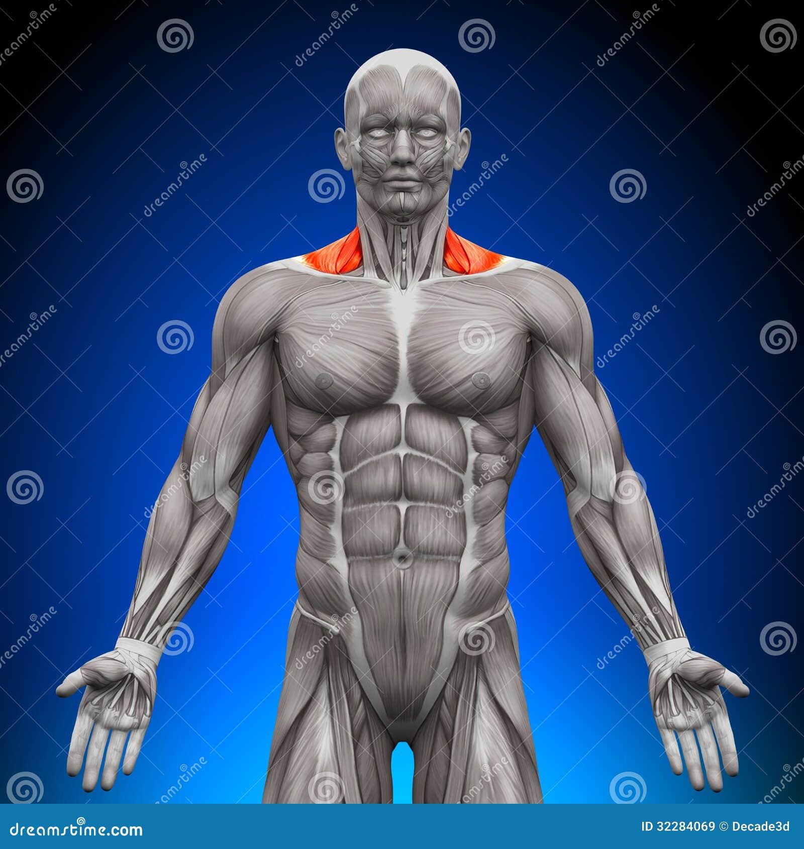 斜方肌_斜方肌前面/Nech干涉-解剖学肌肉库存例证.插画包括有例证