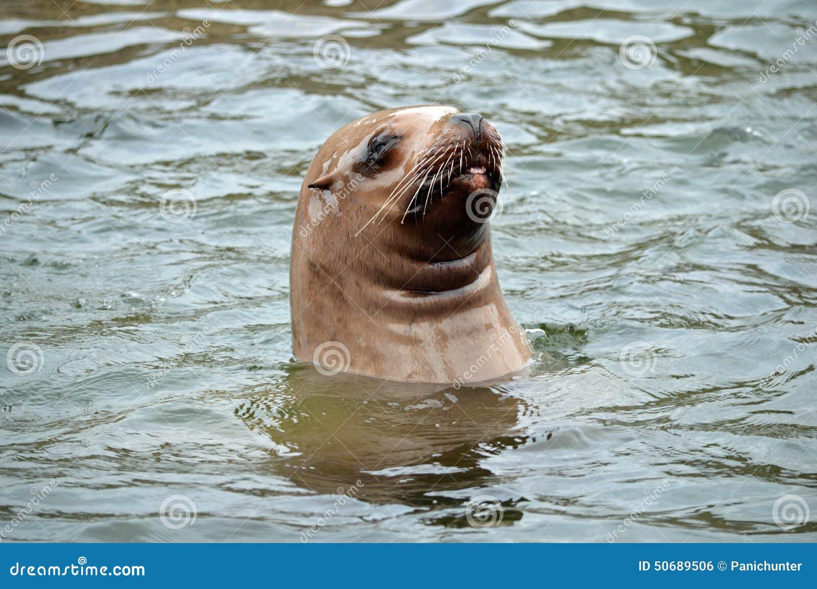 Download 斯特勒海狮看起来水面上,并且黏附它是舌头 库存照片. 图片 包括有 鲱鱼, 威胁, 火箭筒, 密封, 狮子 - 50689506