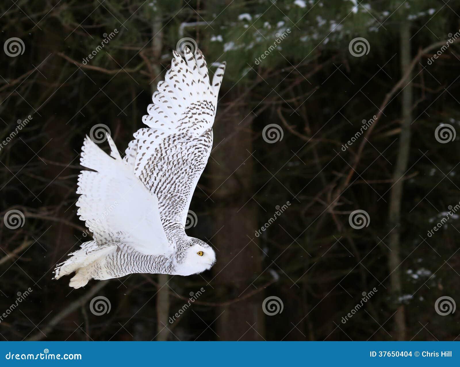 斯诺伊猫头鹰飞行