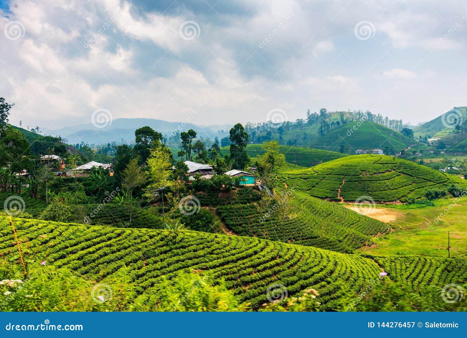 斯里兰卡高地的风景茶园