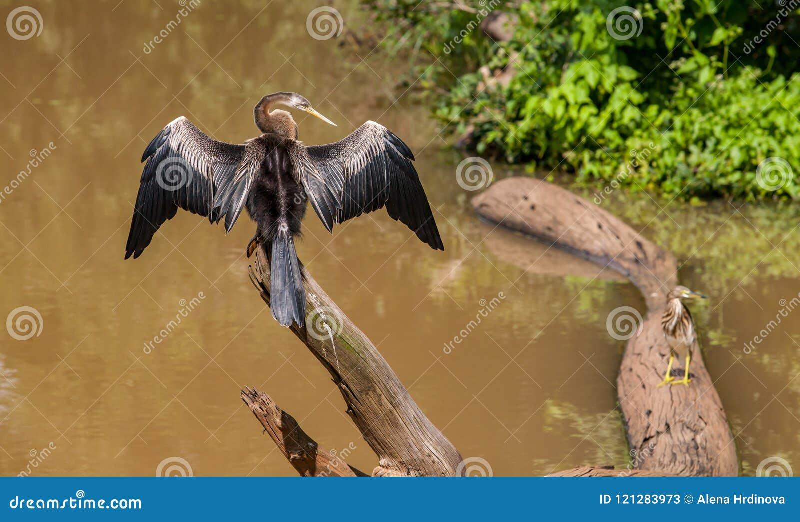 斯里兰卡, Udawalawe国家公园-鸬鹚