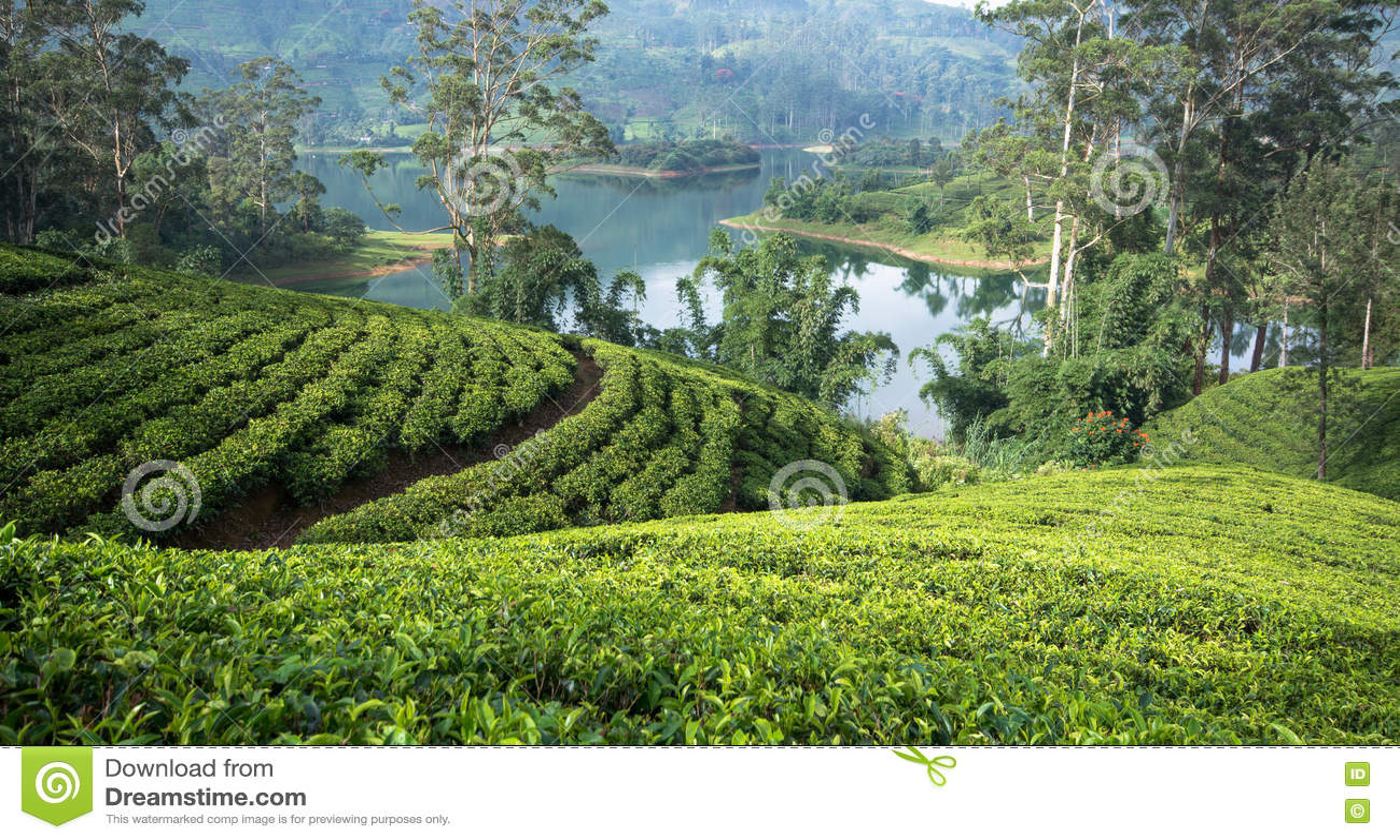 斯里兰卡& x27; s茶庄园