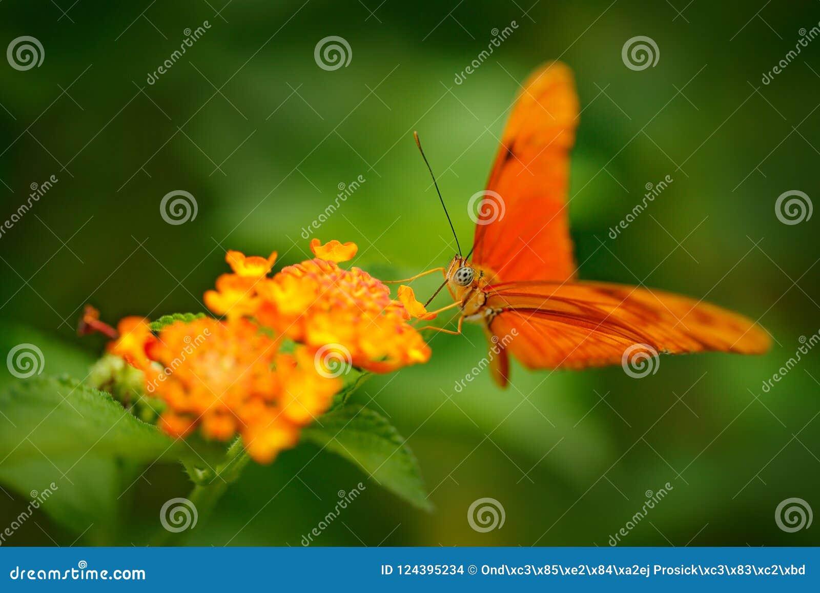 新仙女木iulia,被拼写的茱莉亚heliconian,在自然栖所 从哥斯达黎加的好的昆虫绿色森林橙色蝴蝶sittin的
