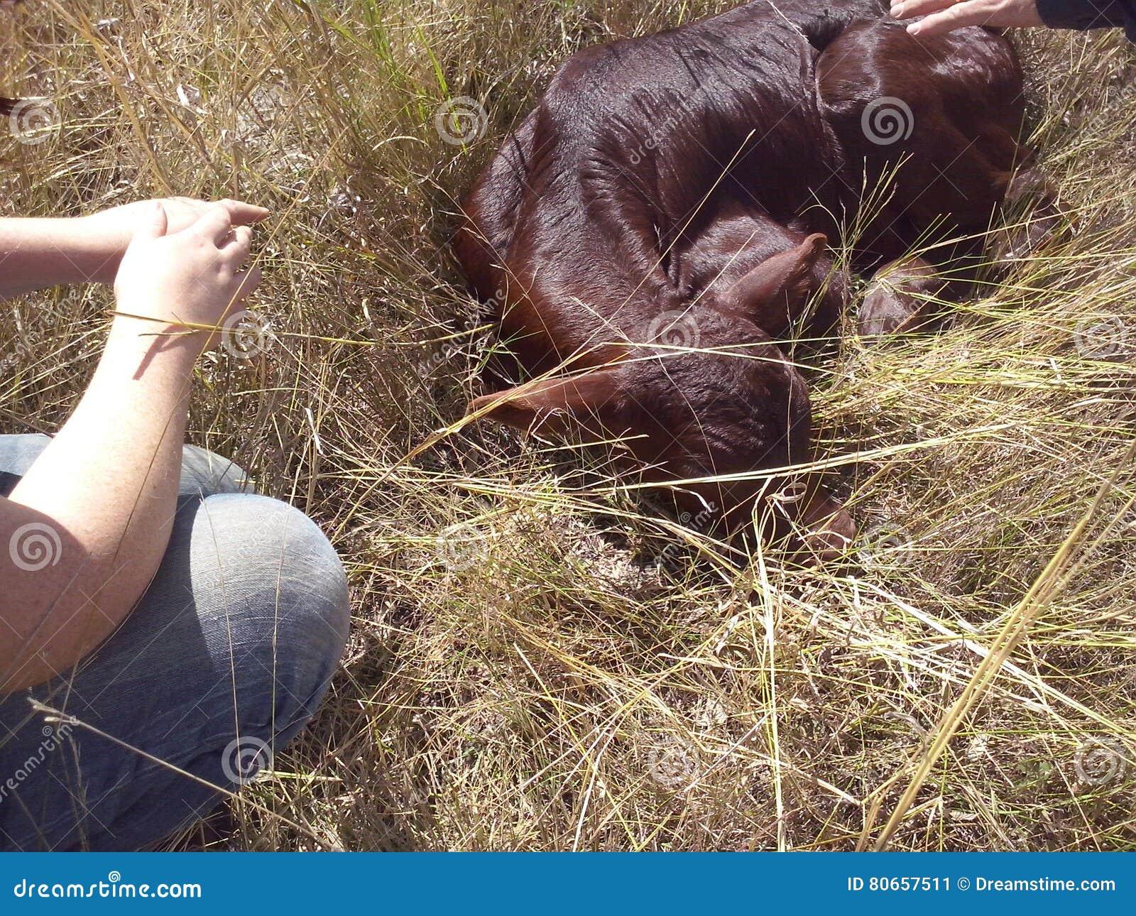 新出生的小牛- 2天年纪