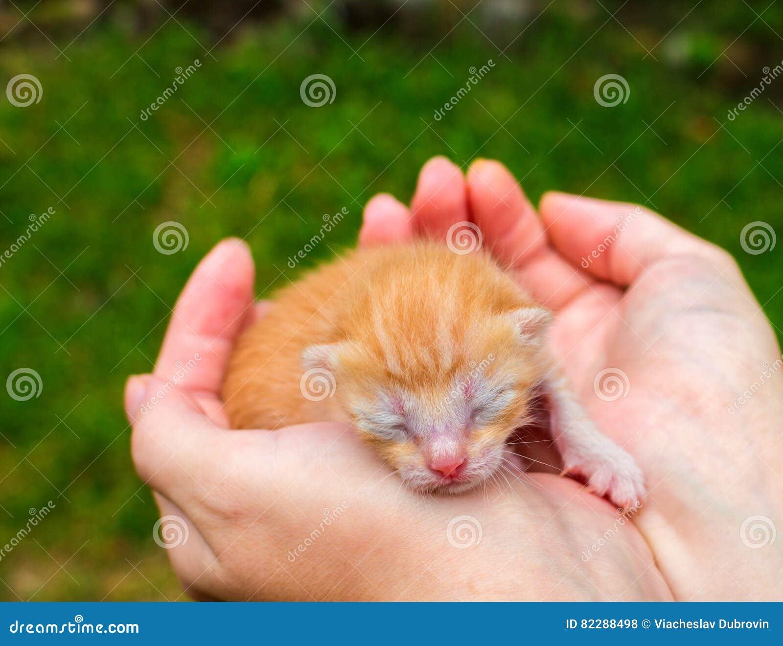 新出生的小猫 红色全部赌注在有同情心的手上 逗人喜爱的猫关闭phot
