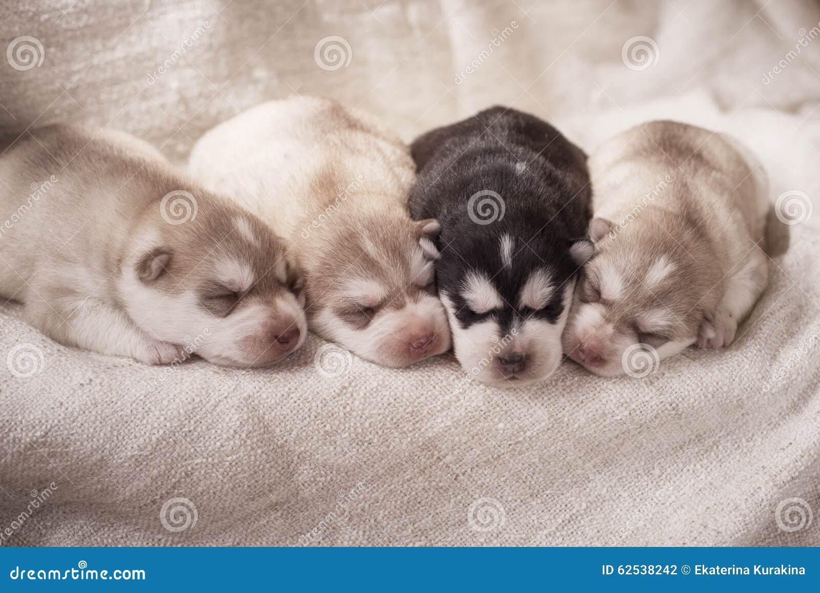 新出生的西伯利亚爱斯基摩人小狗