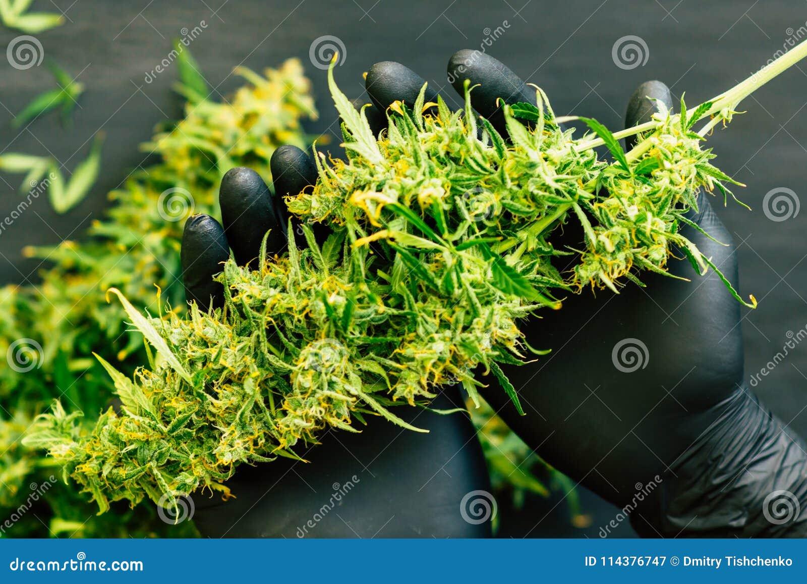 新大麻收获的大芽在耕种的人种植者概念的手上长大医疗大麻关闭
