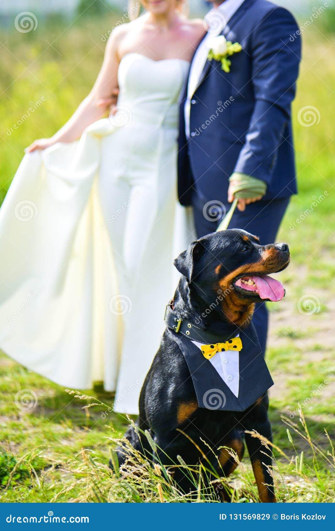 新娘和新郎拉扯在一条皮带的Rottweiler狗在一块绿色沼地的夏天