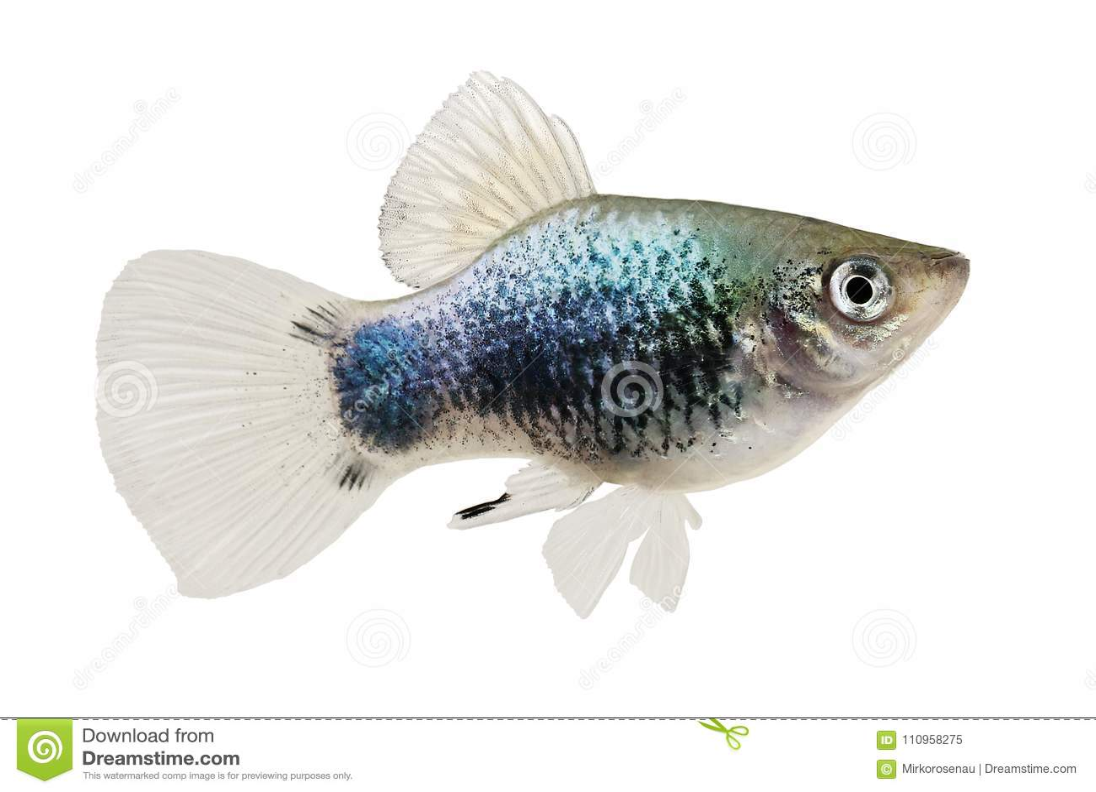 新月鱼霓虹蓝色令科之鸟Xiphophorus Maculatus米老鼠新月鱼水族馆鱼