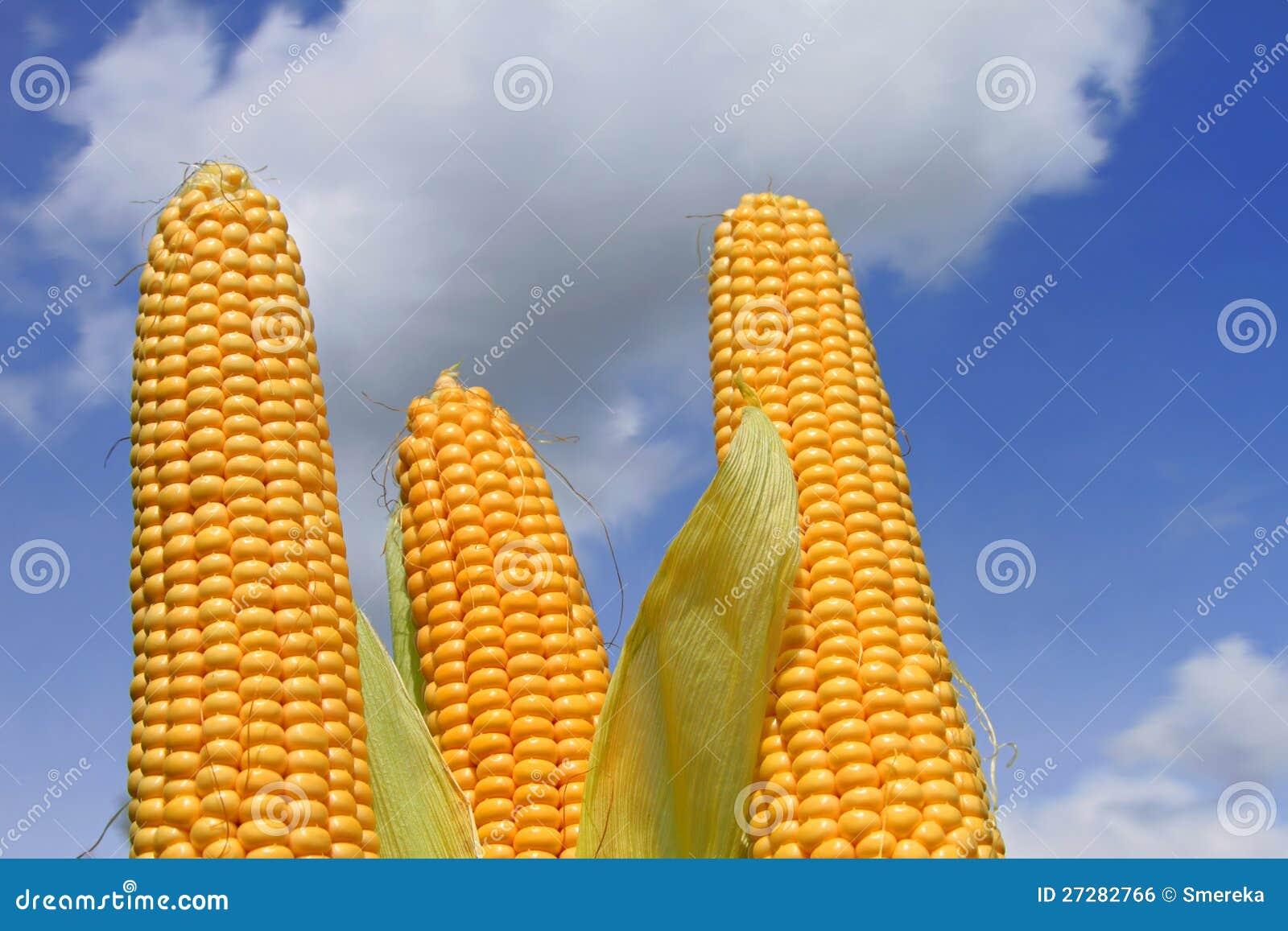 新玉米穗天空的图片