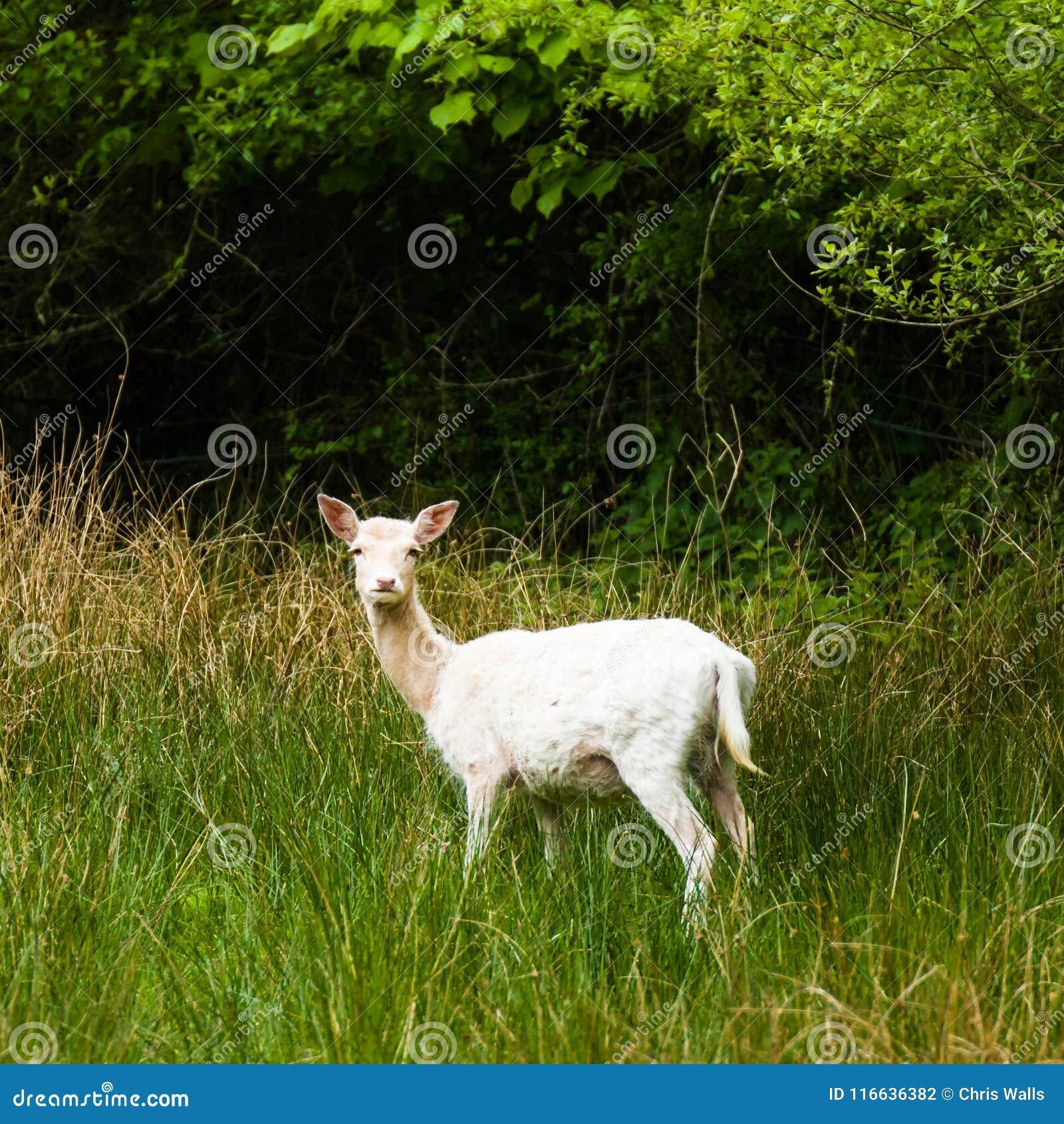 新的森林白色鹿