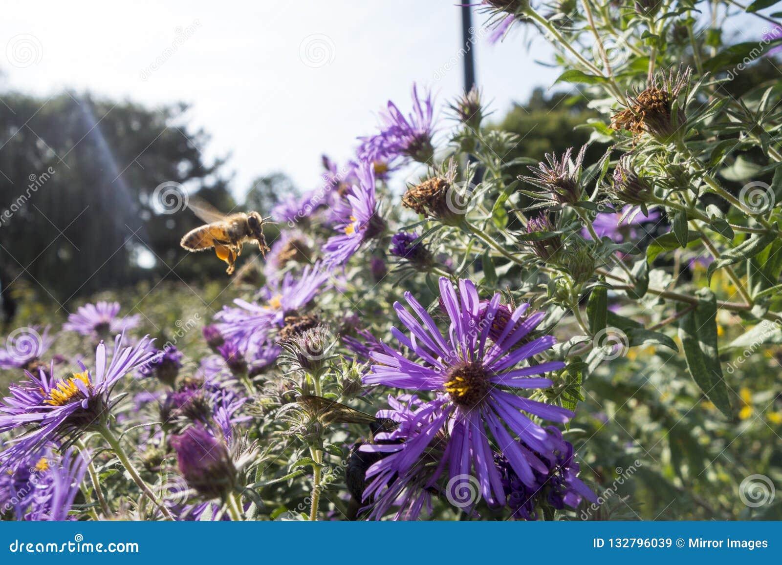 新英格兰翠菊植物在有飞行到它的蜂蜜蜂的一个庭院草甸是与花粉大袋的紫色花对此是hine腿