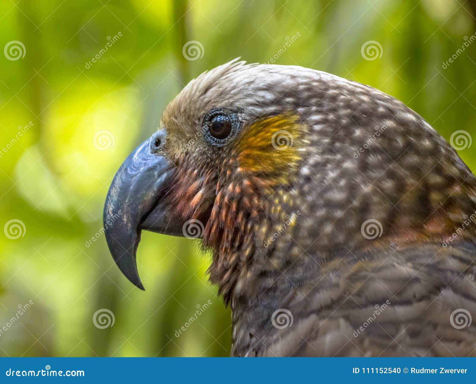 新西兰地方性Kaka鹦鹉