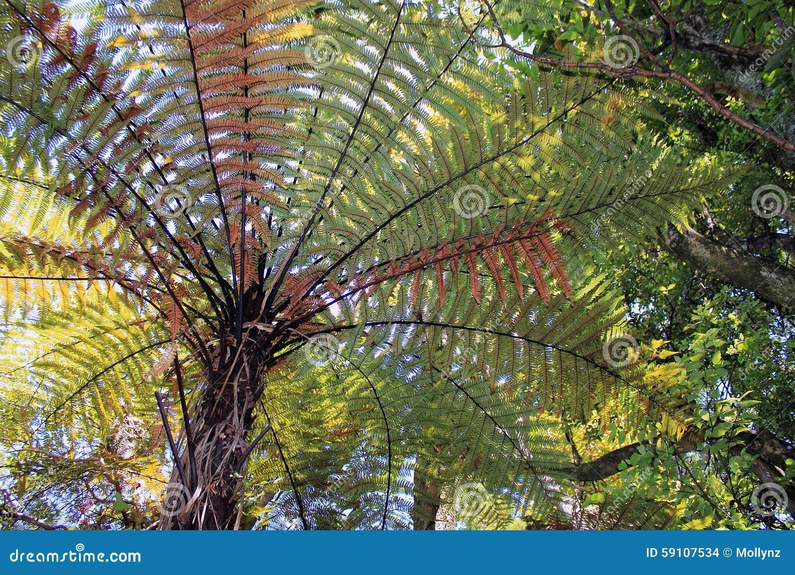 新西兰树蕨