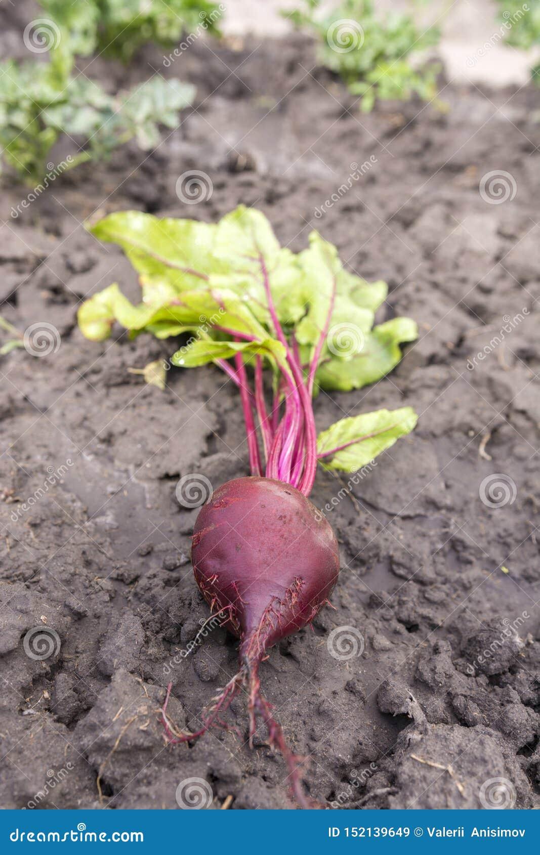 新近地开掘从甜菜床在地面上的