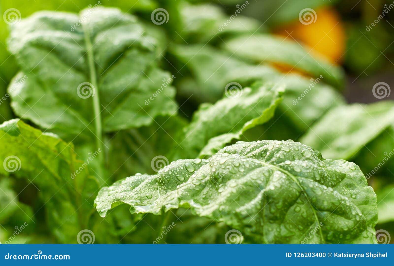 新鲜弄湿绿色甜菜植物和南瓜叶子在床上在背景,