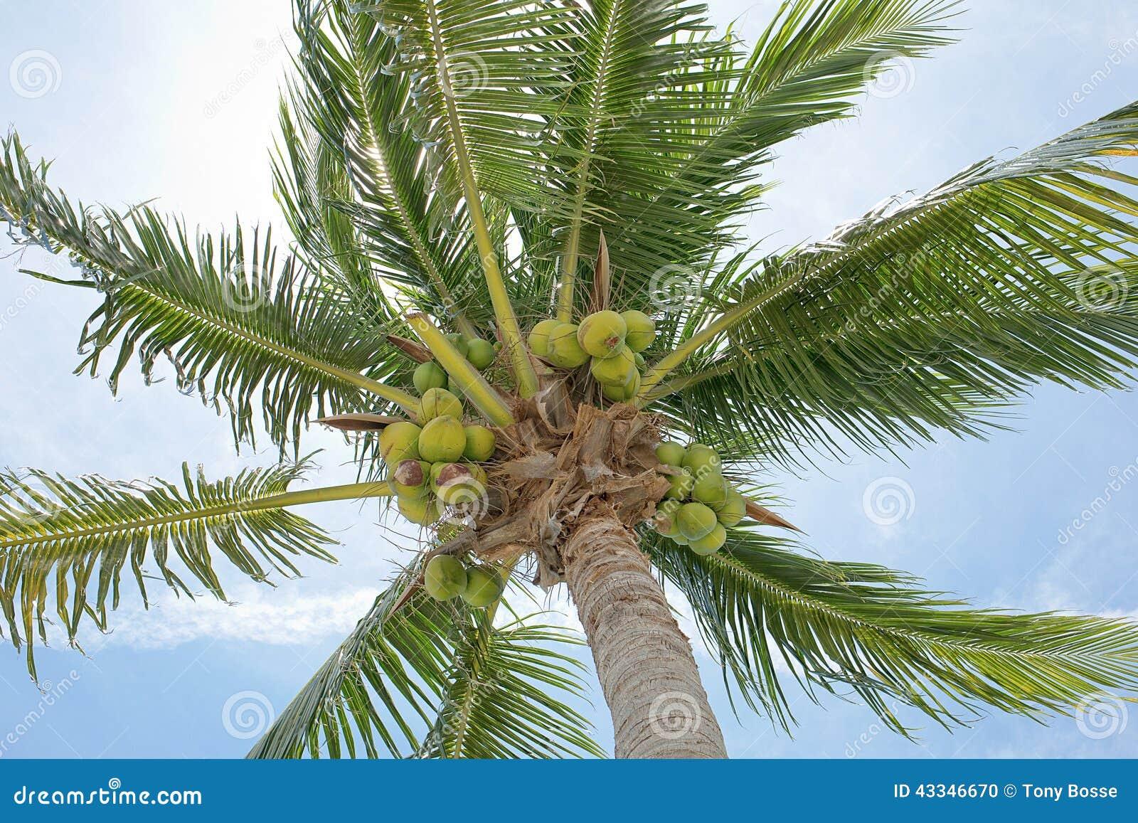 新鲜的椰子