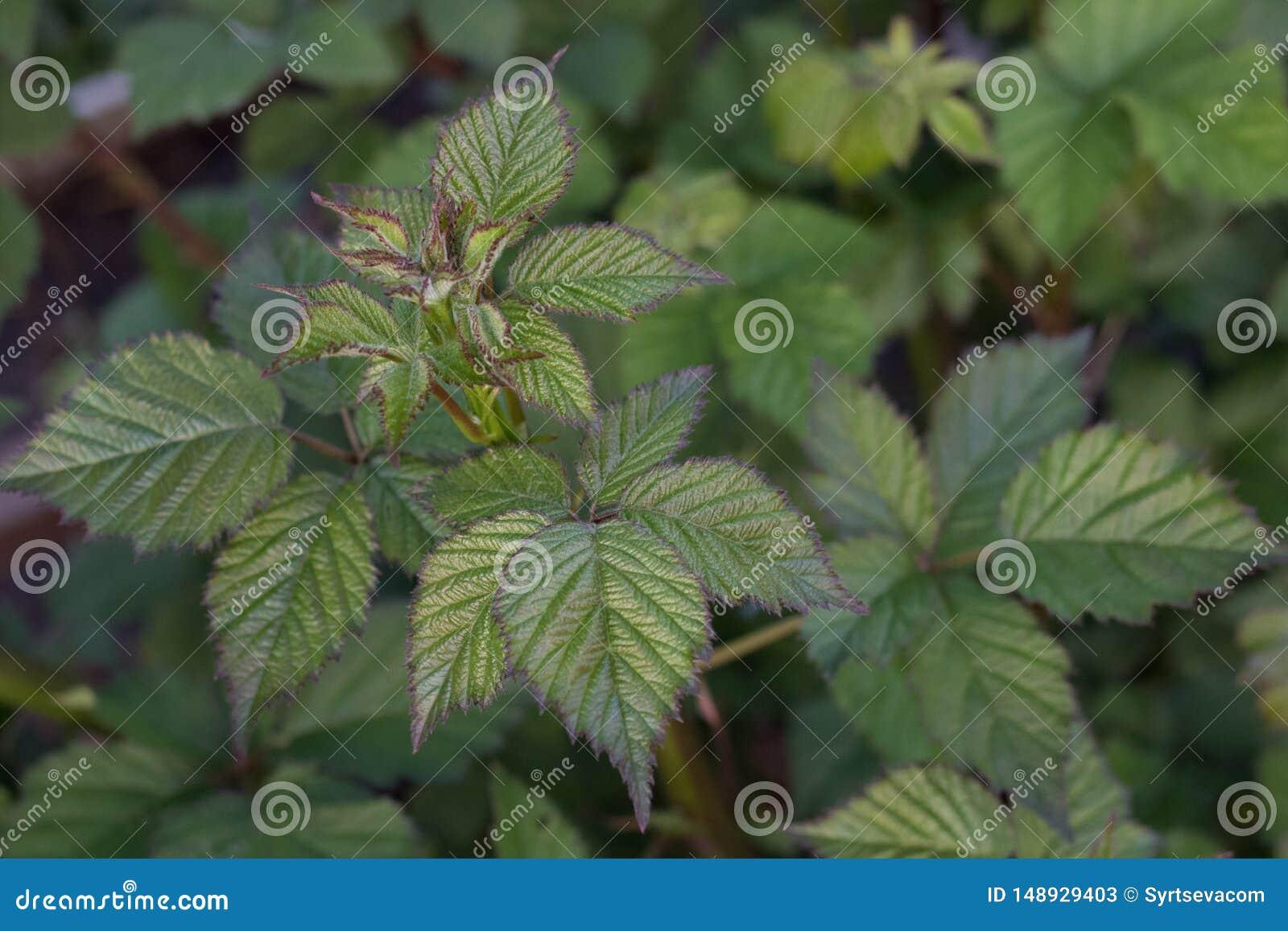 新鲜的黑莓离开与未开花紧密反对地面的年轻芽
