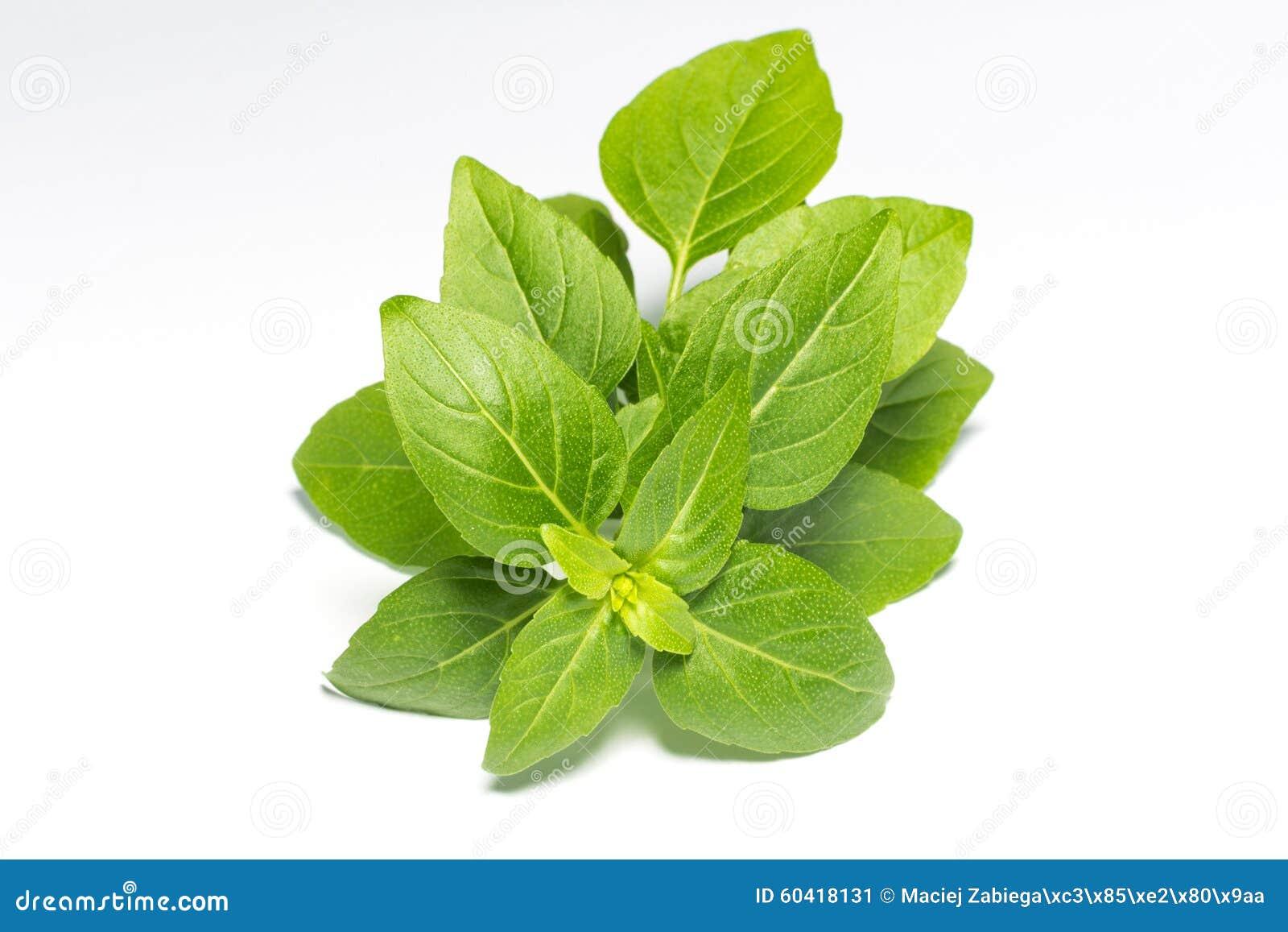 新鲜的绿色叶子蓬蒿