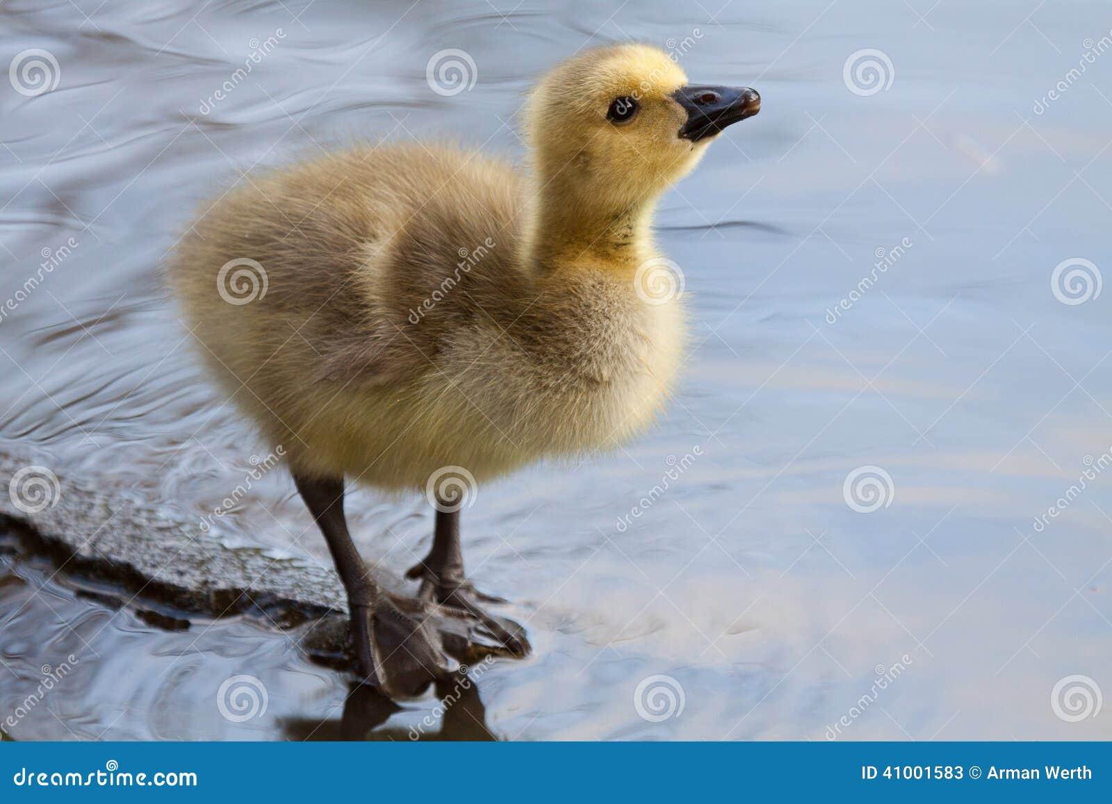 新Gosling