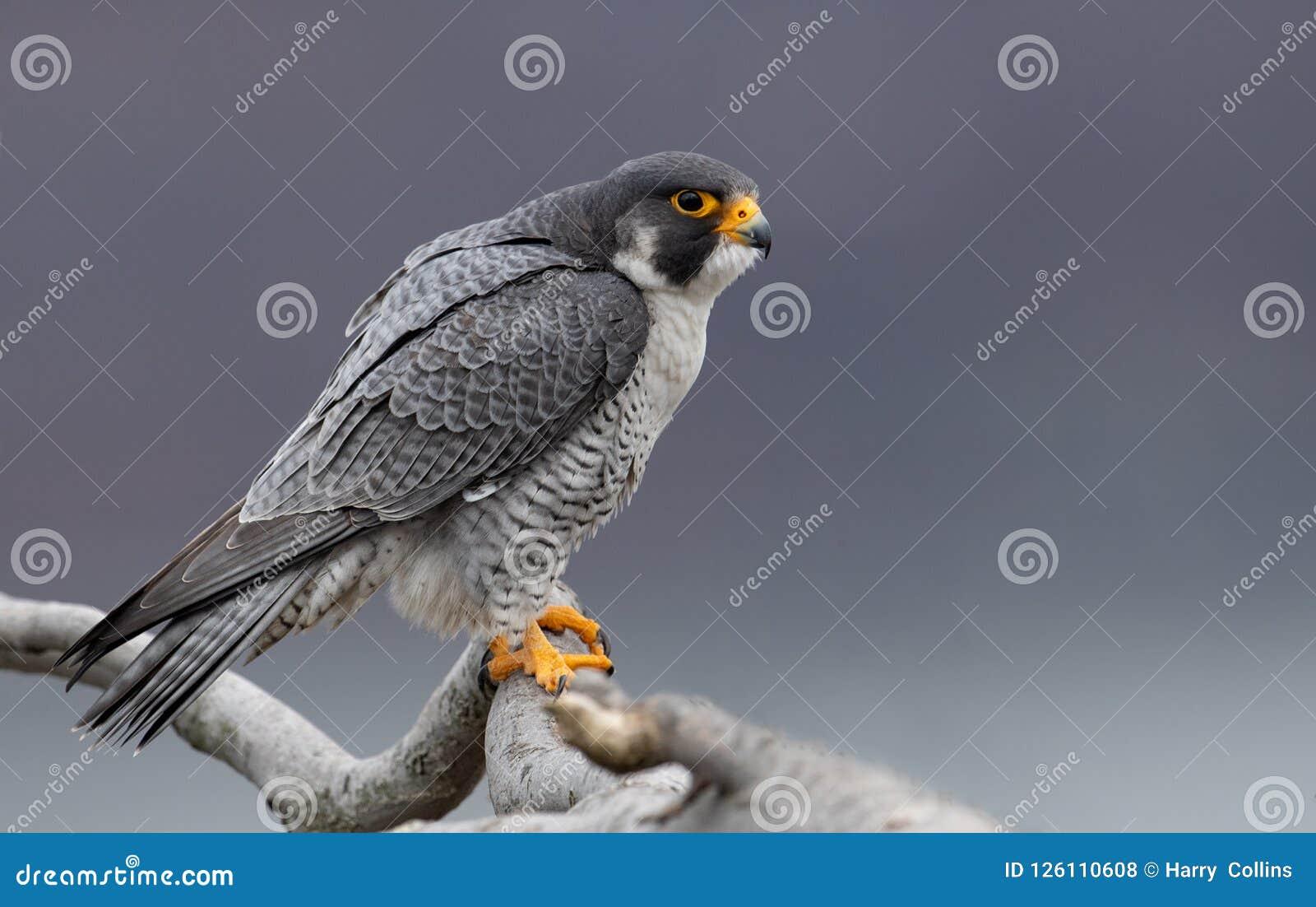 旅游猎鹰在新泽西
