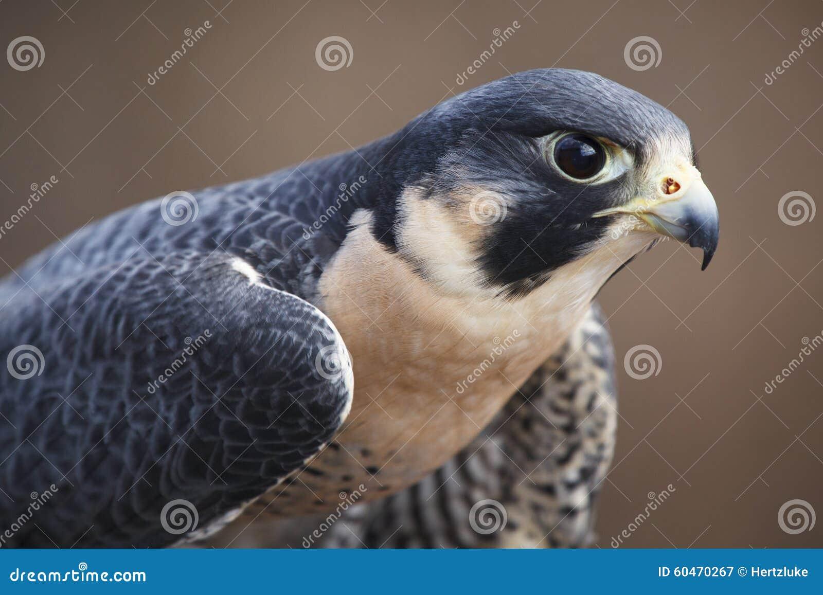 旅游猎鹰画象