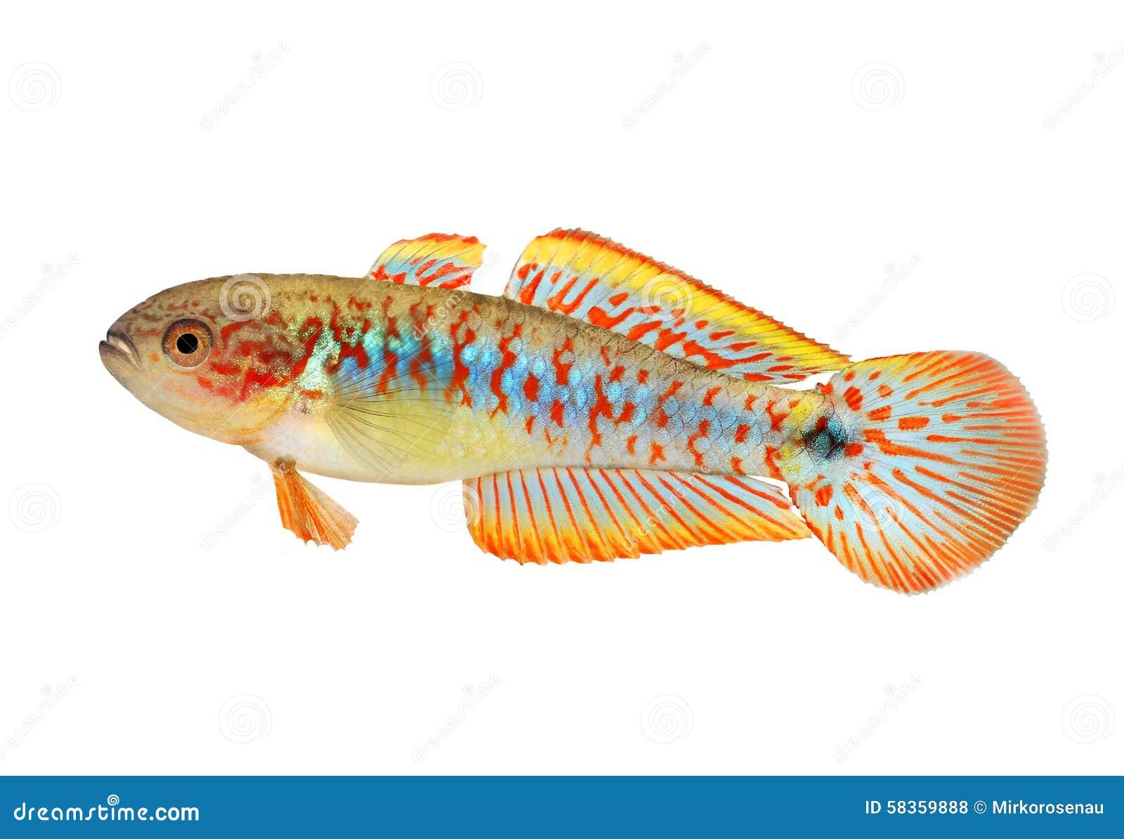 水族馆鱼孔雀舵枢淡水Tateurndina的ocellicauda