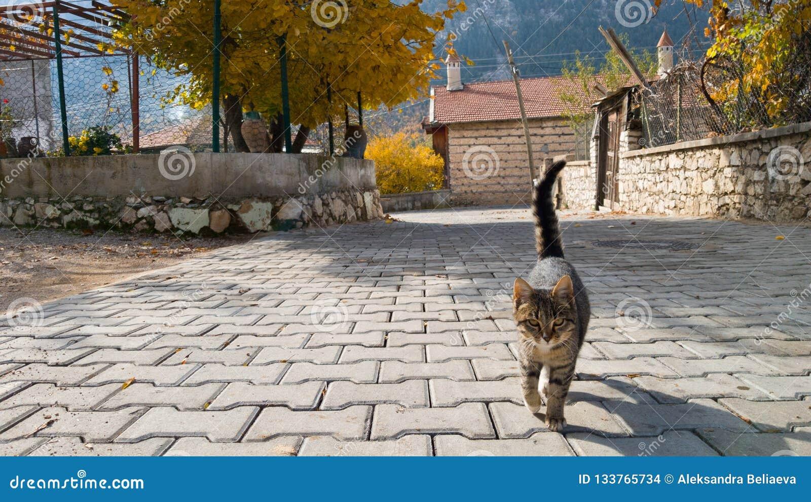无家可归的美丽的幼小猫去往照相机 村庄生活在土耳其 友好的宠物