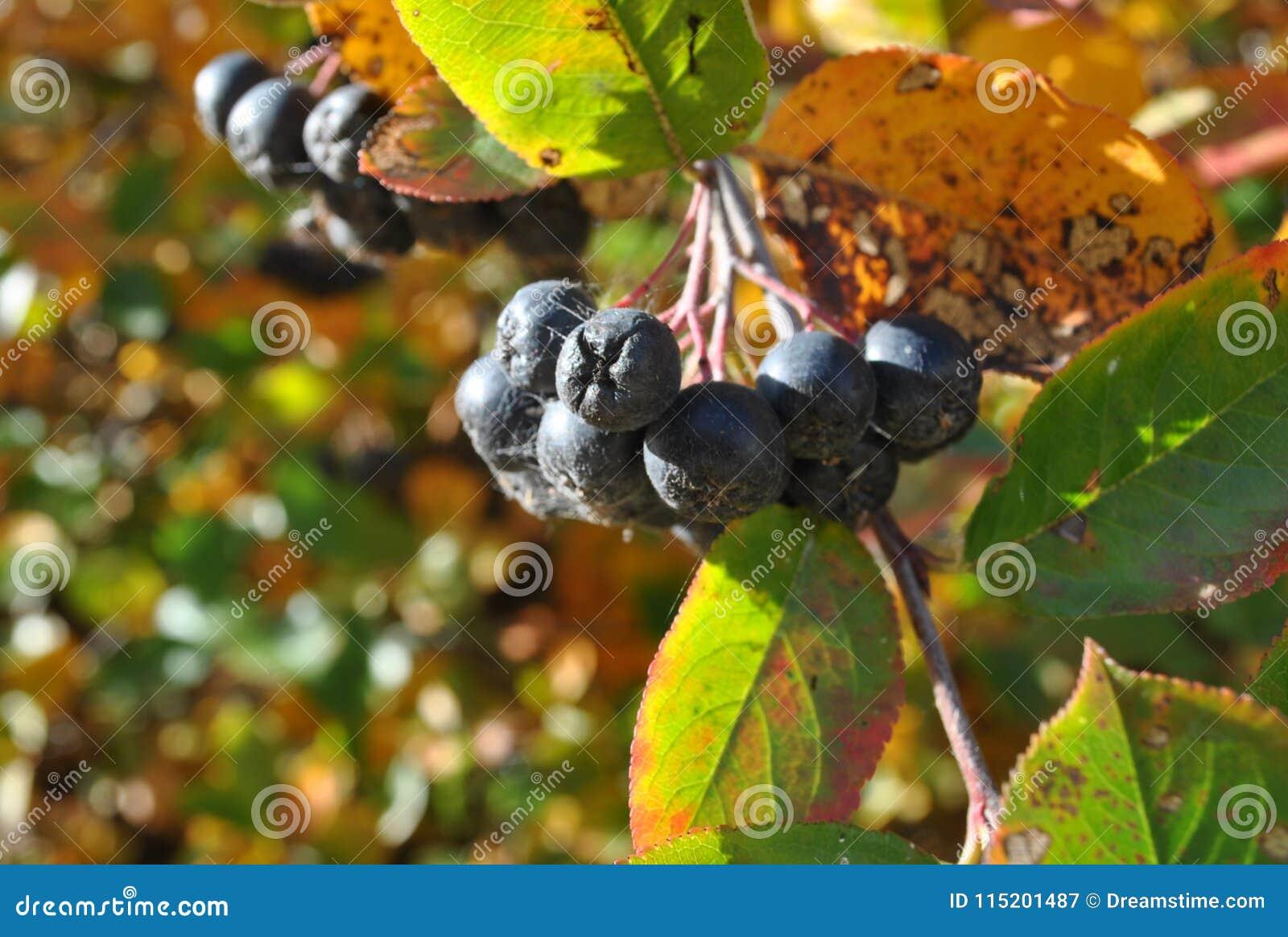 无核小葡萄干分支在秋天公园