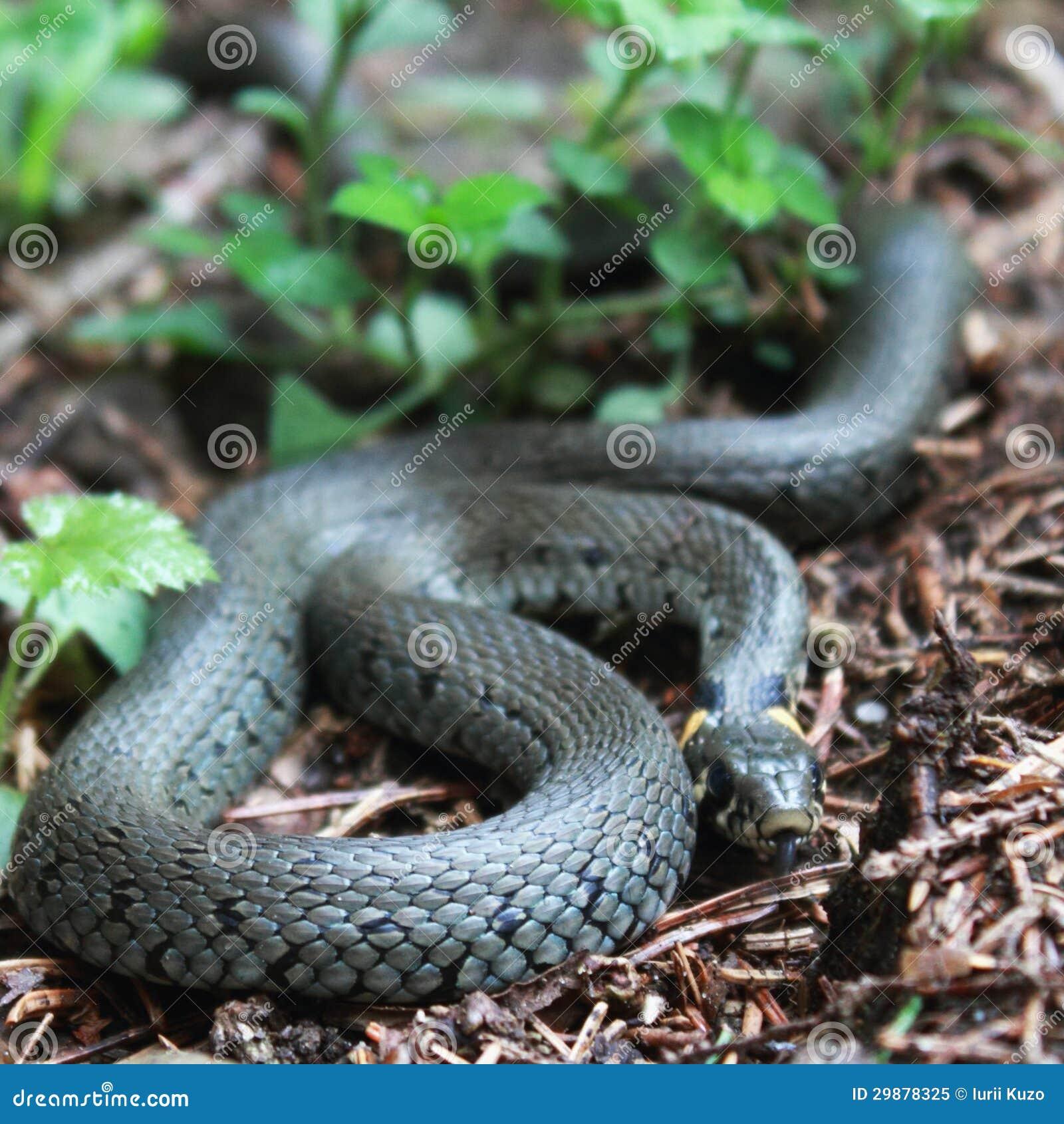 无毒性的蛇蛇