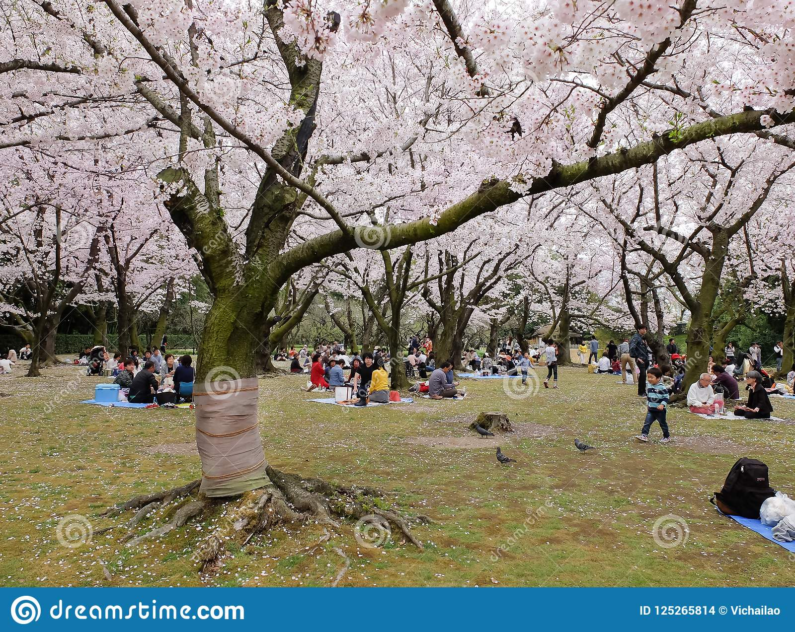 日本享用的樱花节日在公园