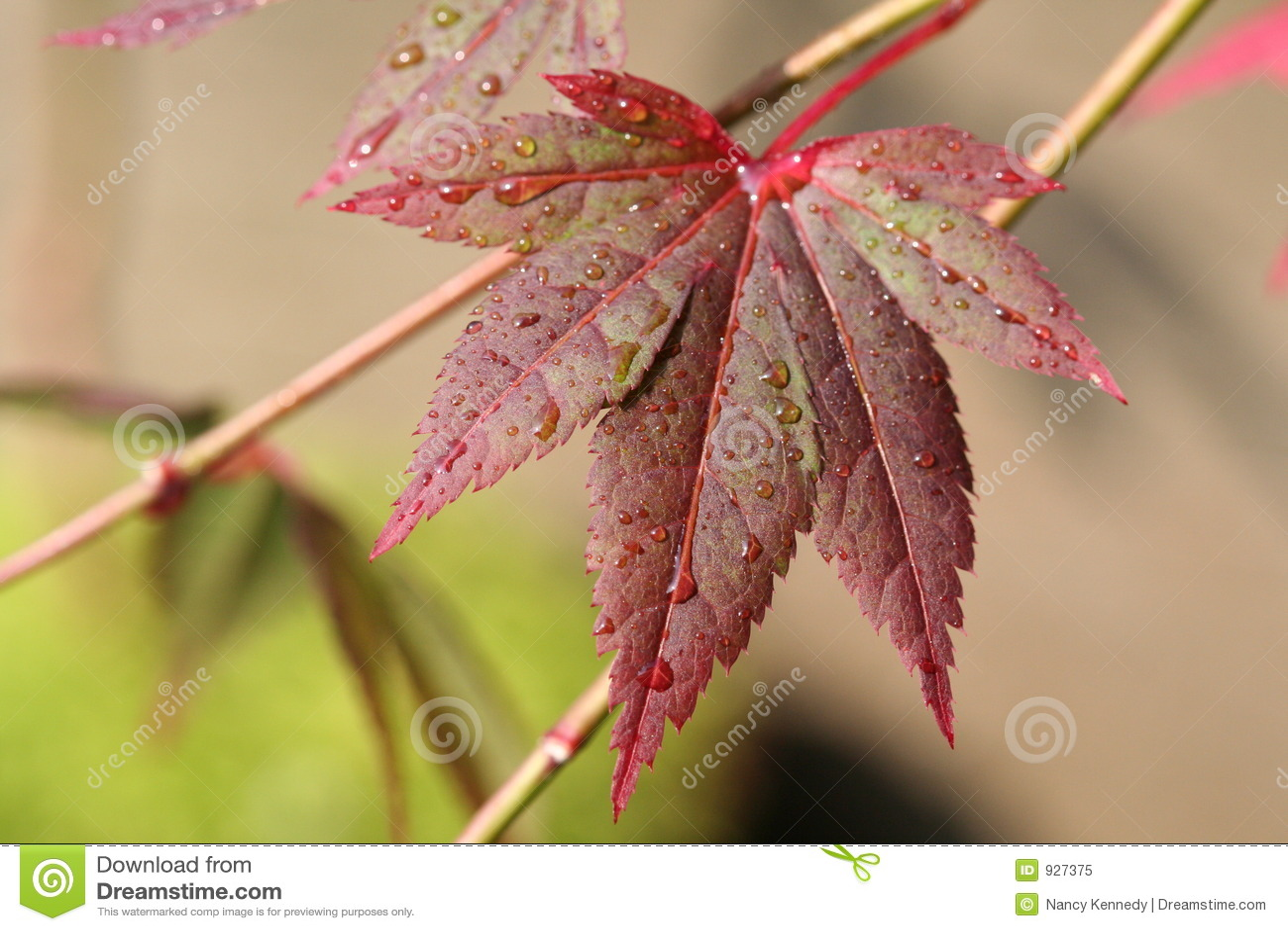 日本叶子槭树年轻人
