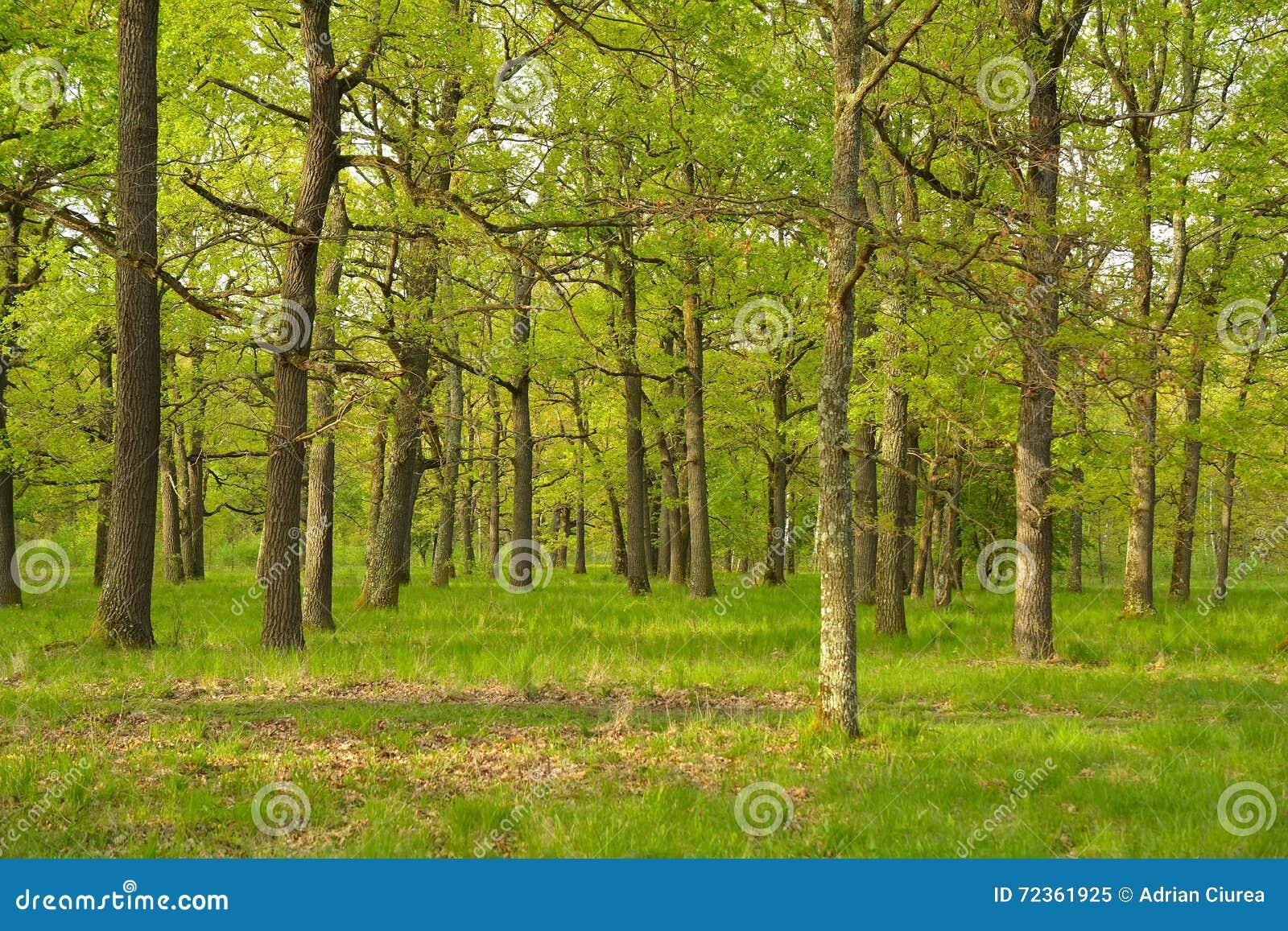 日落的橡木森林