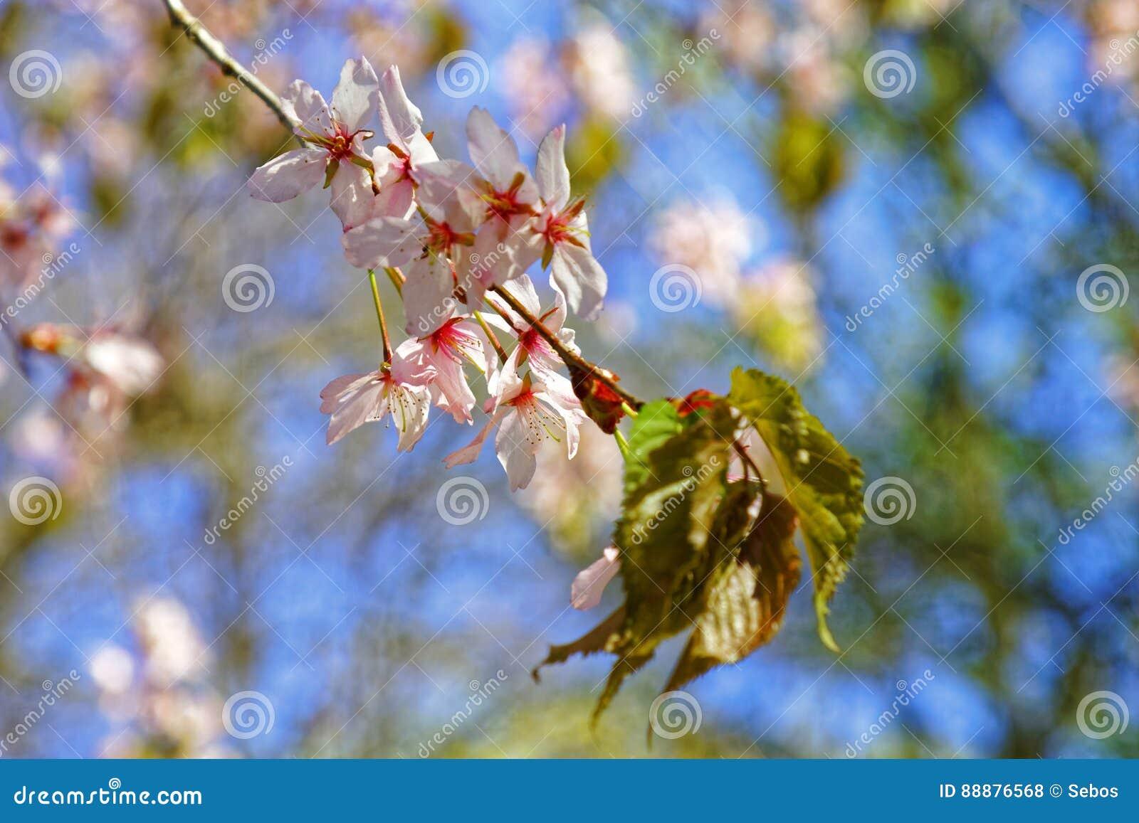 日语佐仓花  春天樱花在植物园里