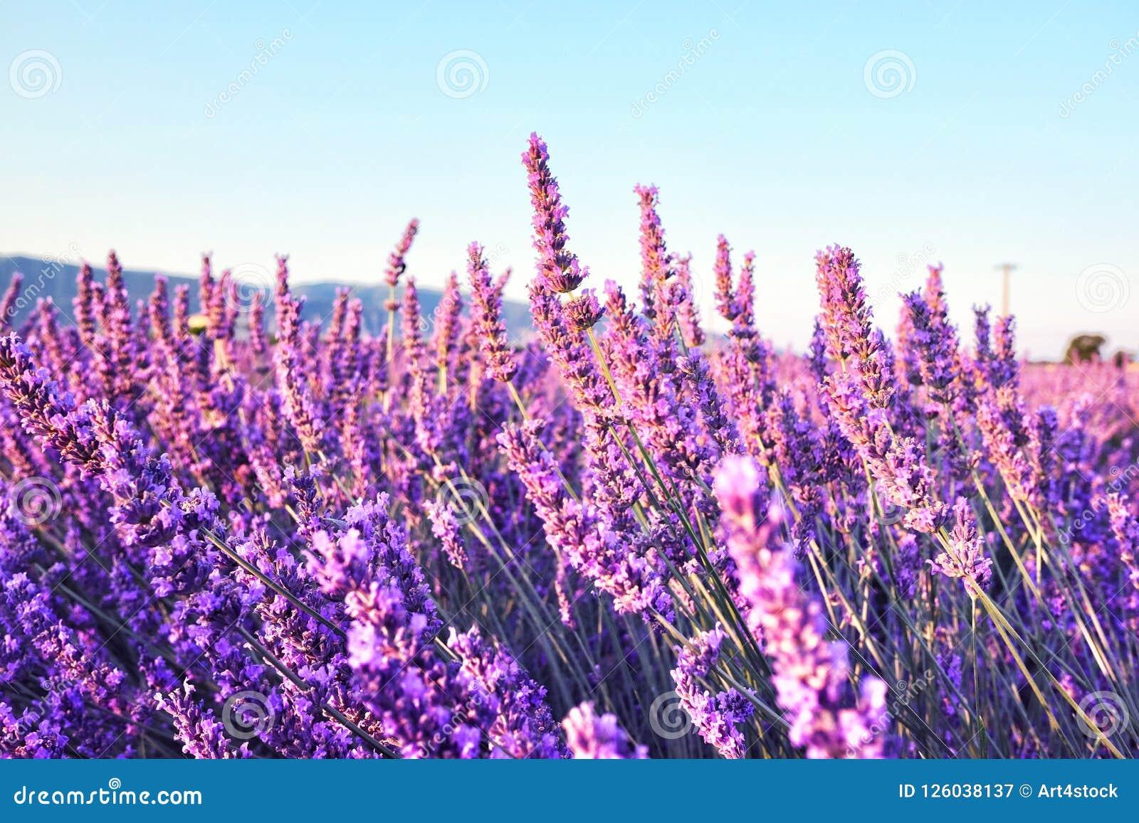 早晨在开花的淡紫色领域的太阳光芒