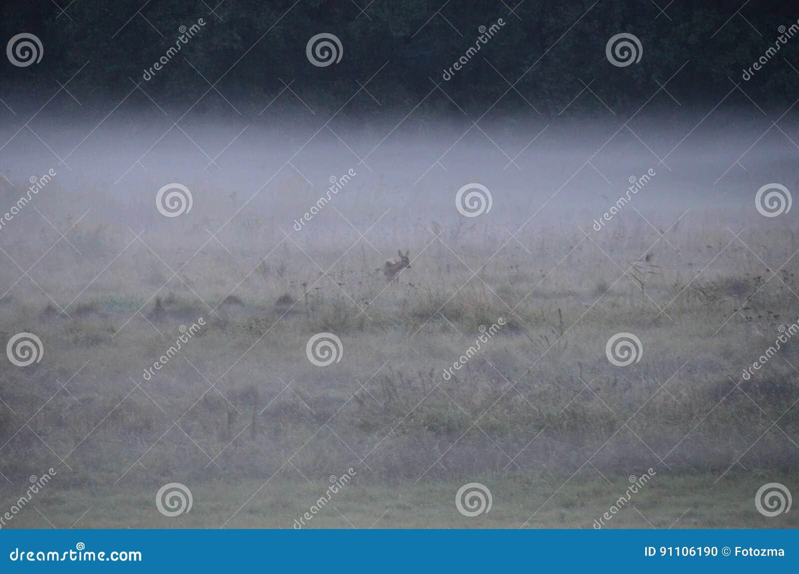 早晨草甸-在雾的bambi