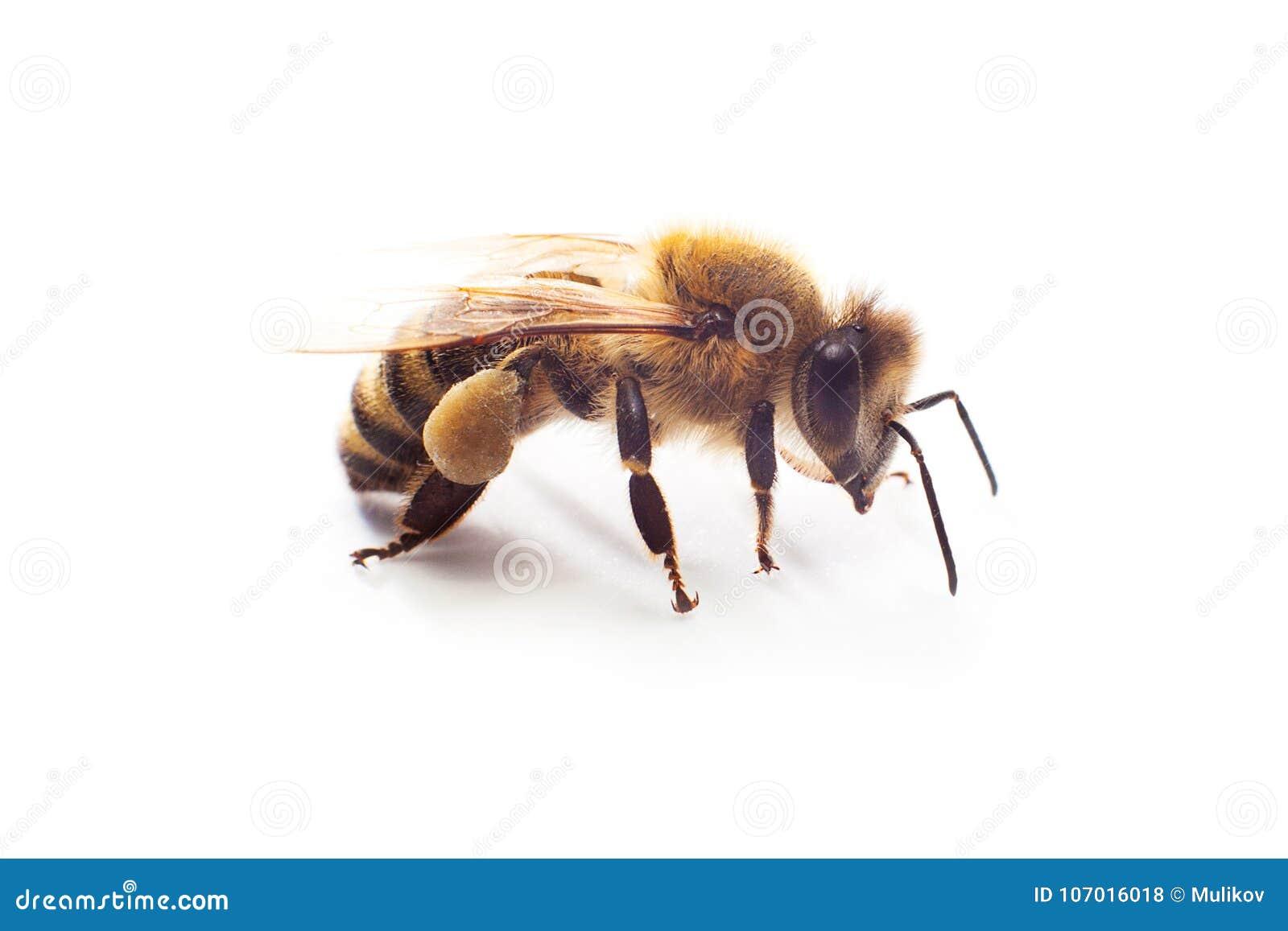 昆虫与花粉的蜂蜜蜂在白色隔绝的它的爪子