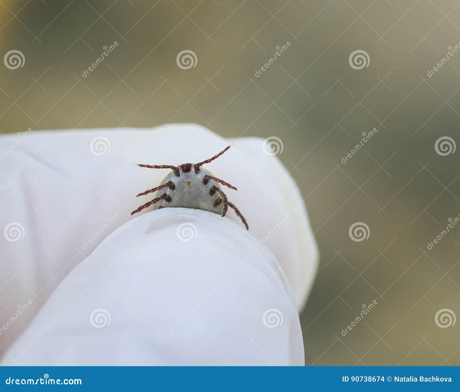 昆虫小蜘蛛在手上加压了血液在橡胶的手套