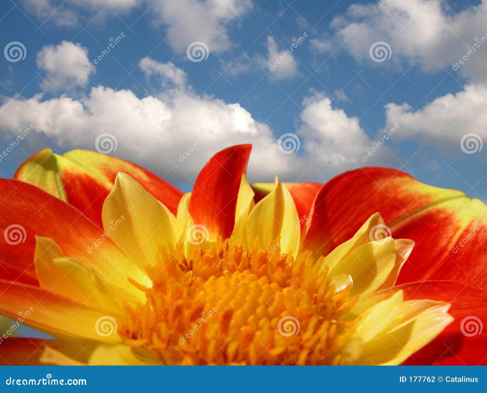 明亮的五颜六色的大丽花天空夏天