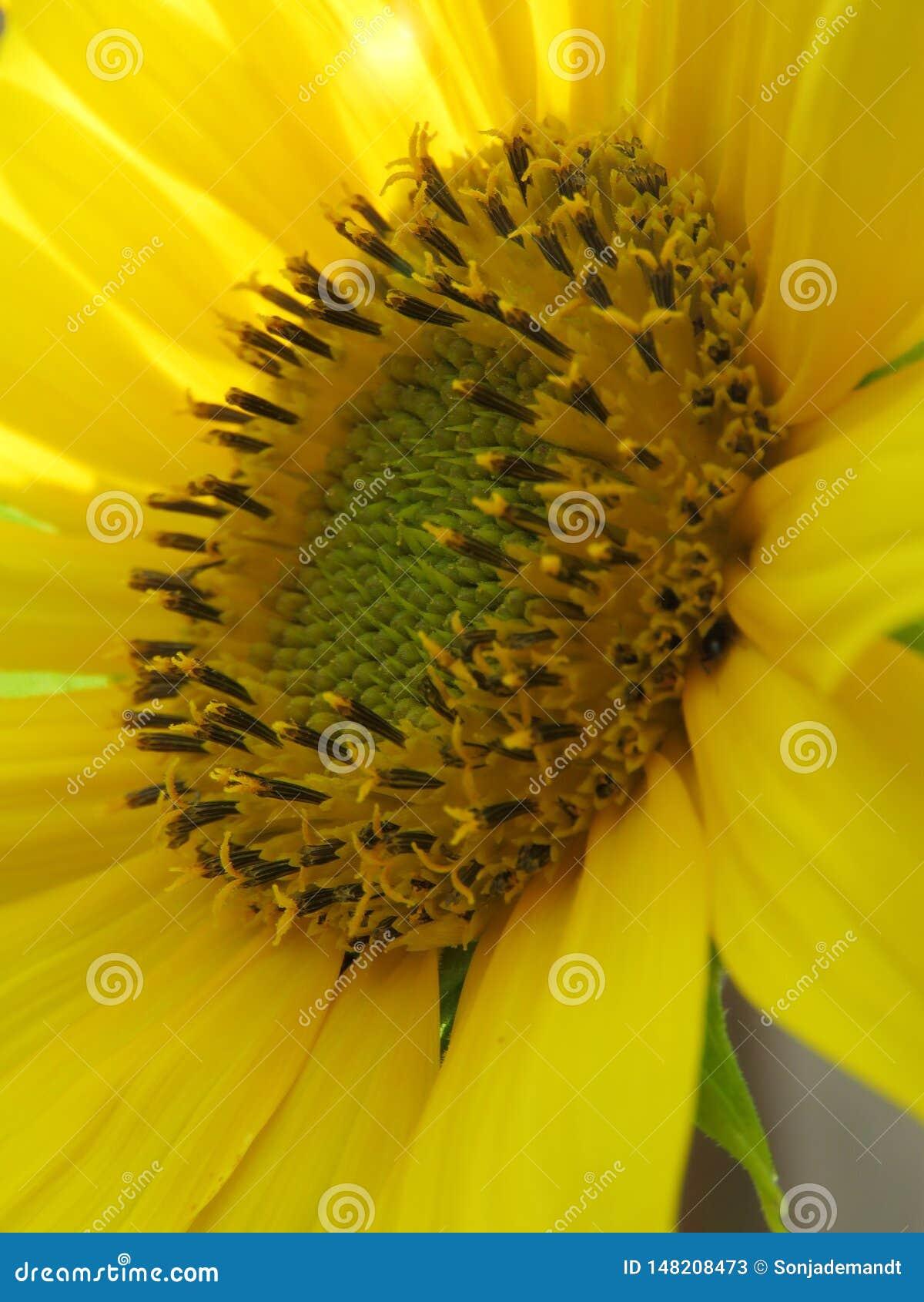明亮的向日葵金黄和做任何人的天!