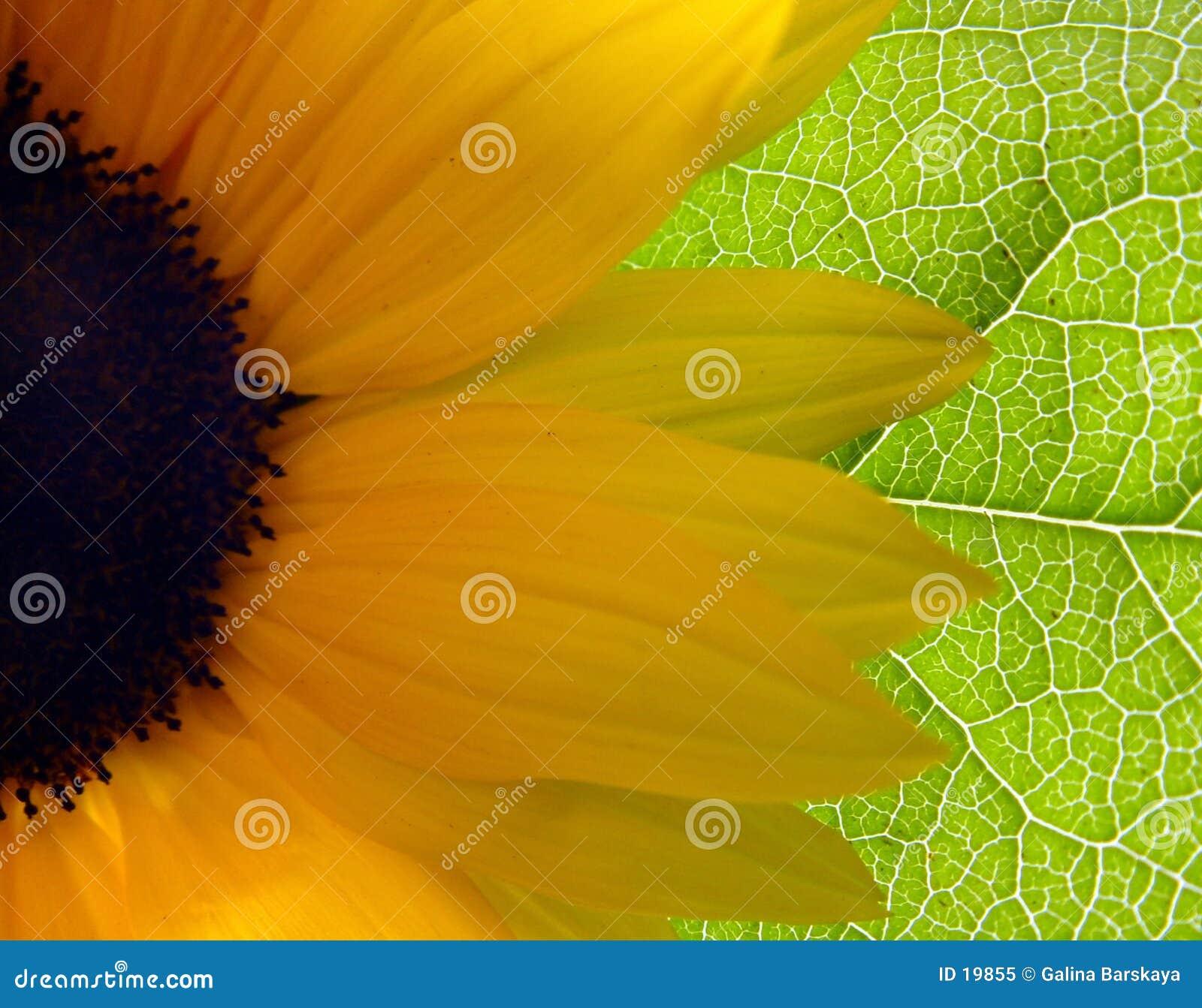 明亮的向日葵