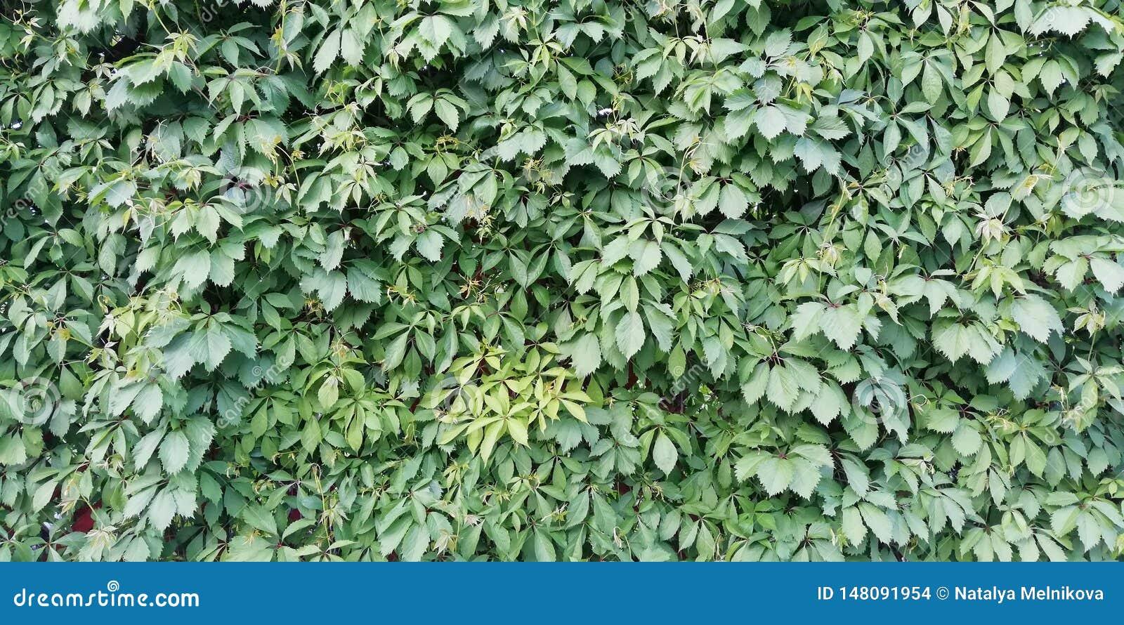 明亮的夏天花卉背景 装饰少女葡萄绿色叶子墙壁