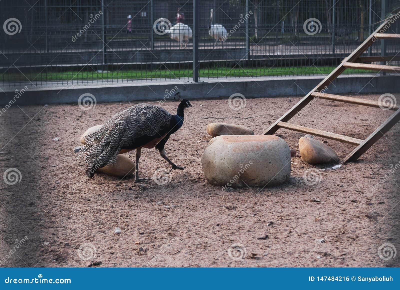 明亮的孔雀鸟特写镜头,与五颜六色的全身羽毛的美丽的孔雀在动物园里