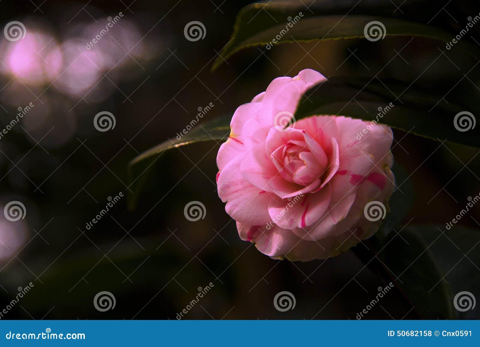 Download 明亮的山茶花 库存照片. 图片 包括有 公园, 开花, 绿化, 横向, 绽放, 生态学, 颜色, 春天, 绿色 - 50682158