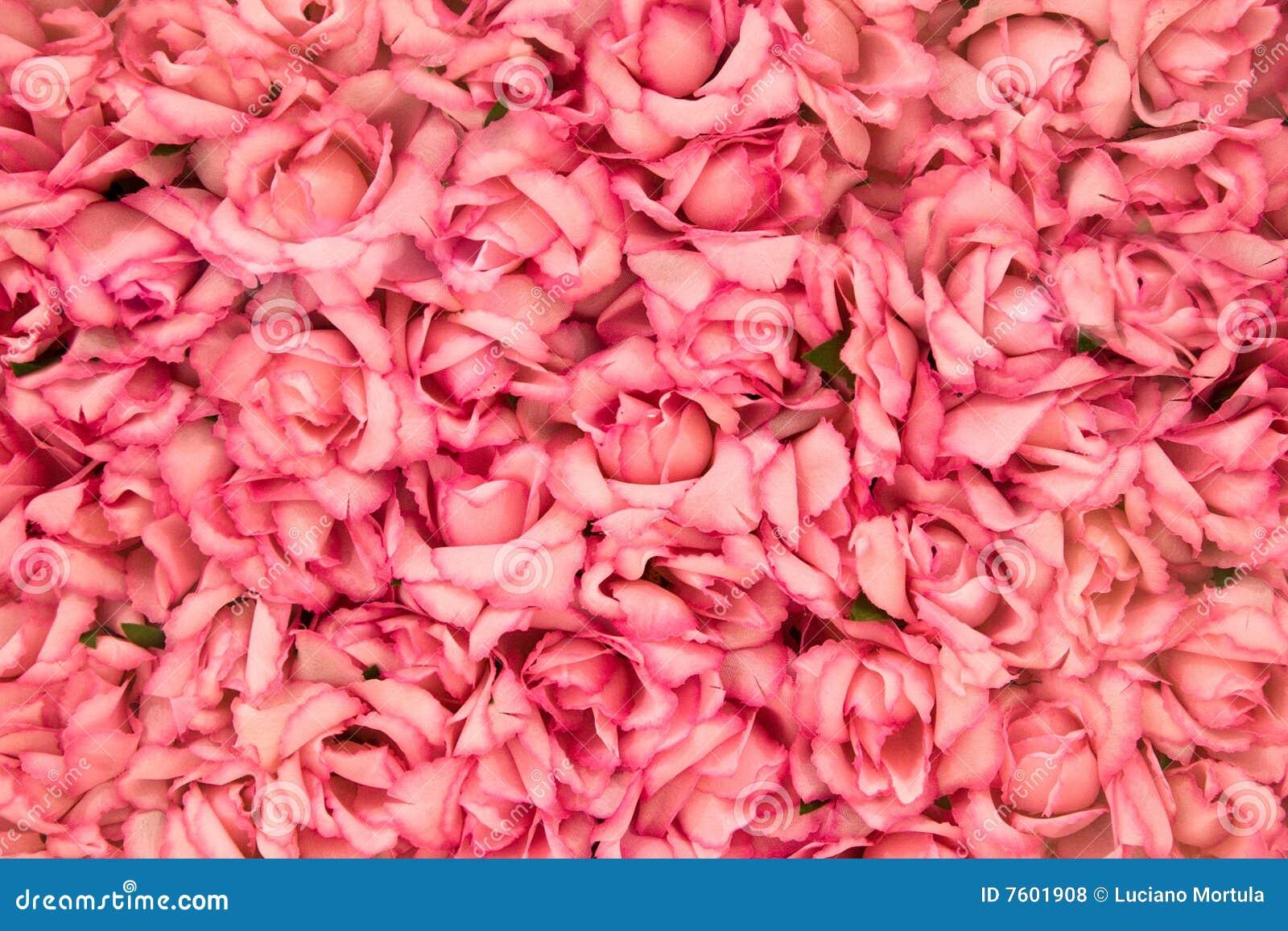 明亮的桃红色玫瑰