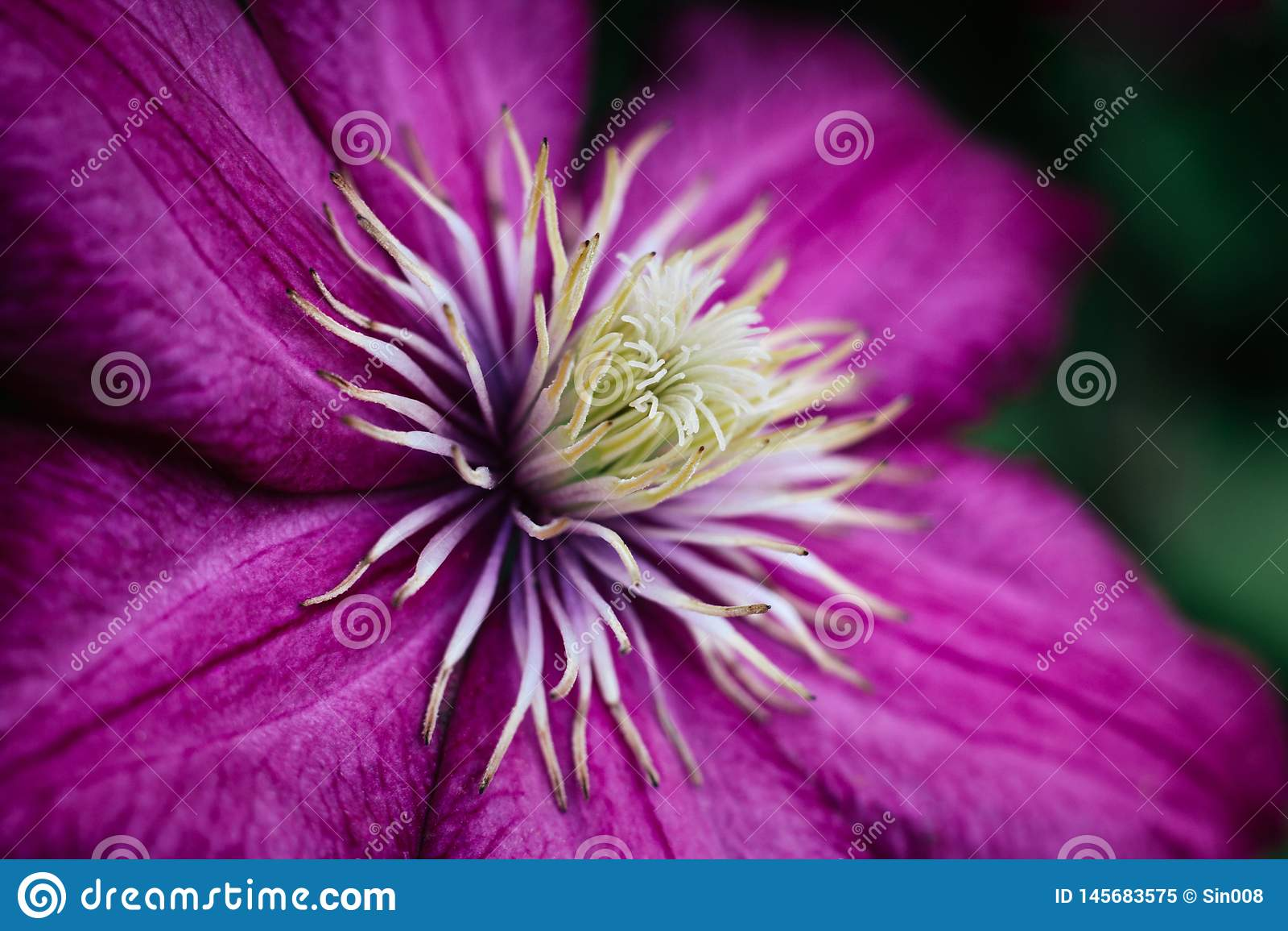 明亮的桃红色铁线莲属关闭 与白色雄芯花蕊的庭院上升的花 大织地不很细瓣 宏观侧视图