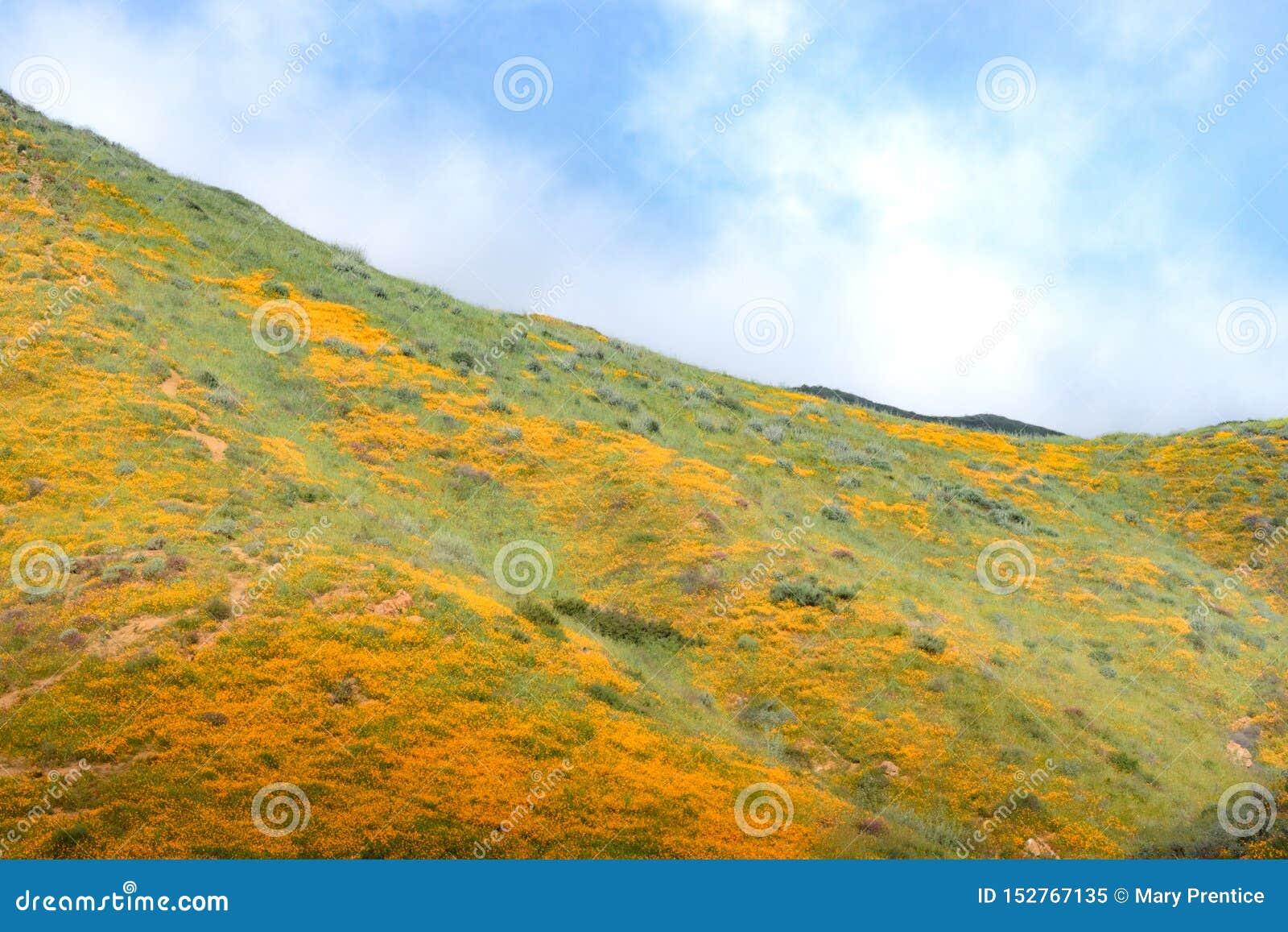 明亮的橙色充满活力的生动的金黄花菱草,在绽放,惊人的山坡的季节性春天本地植物野花