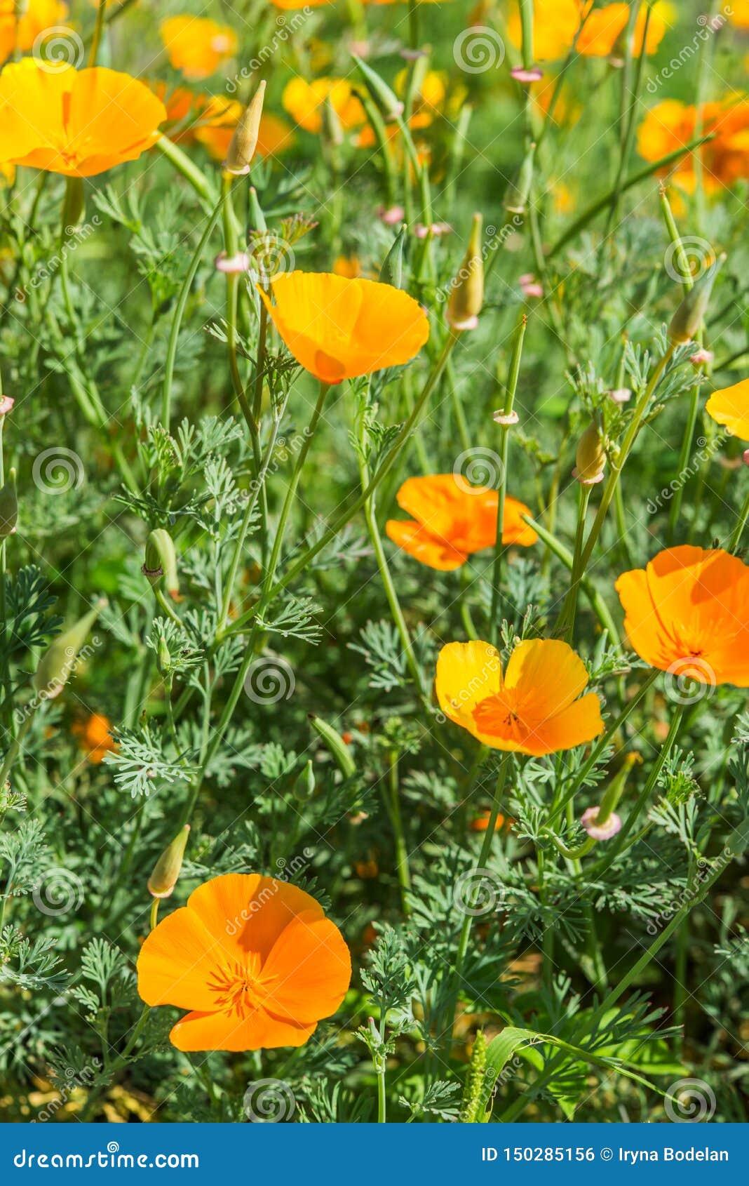 明亮的橙色加利福尼亚鸦片有绿色背景