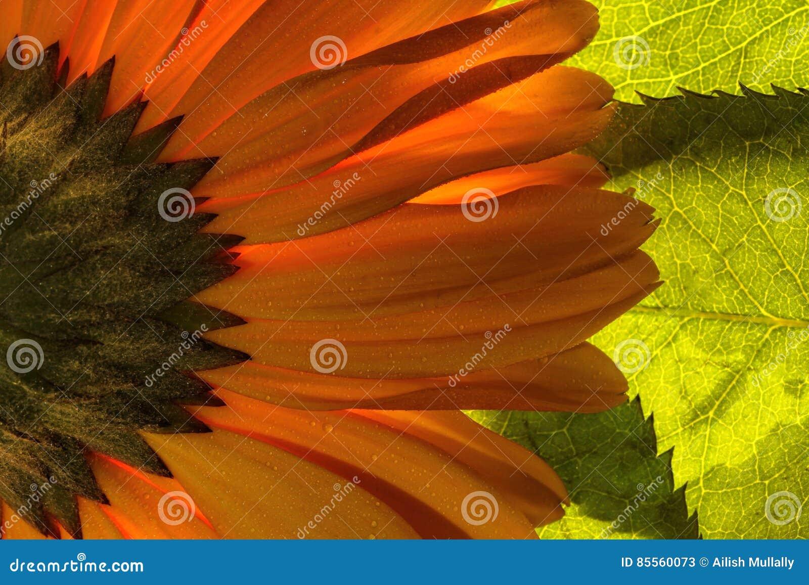 明亮的橙色gerber雏菊